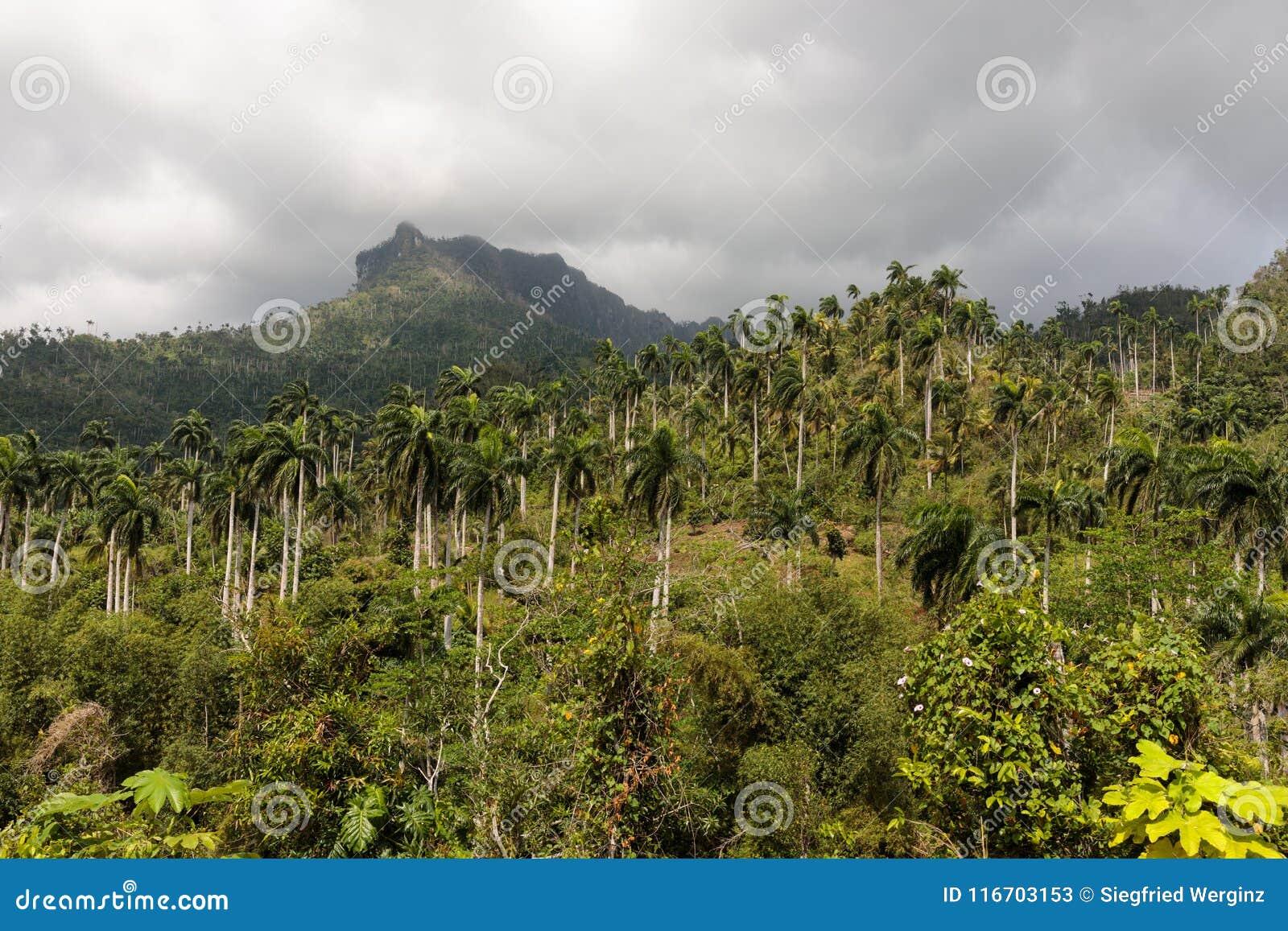 Άποψη σχετικά με τη ζούγκλα με τους φοίνικες εθνικό park alejandro de humboldt κοντά στο baracoa Κούβα
