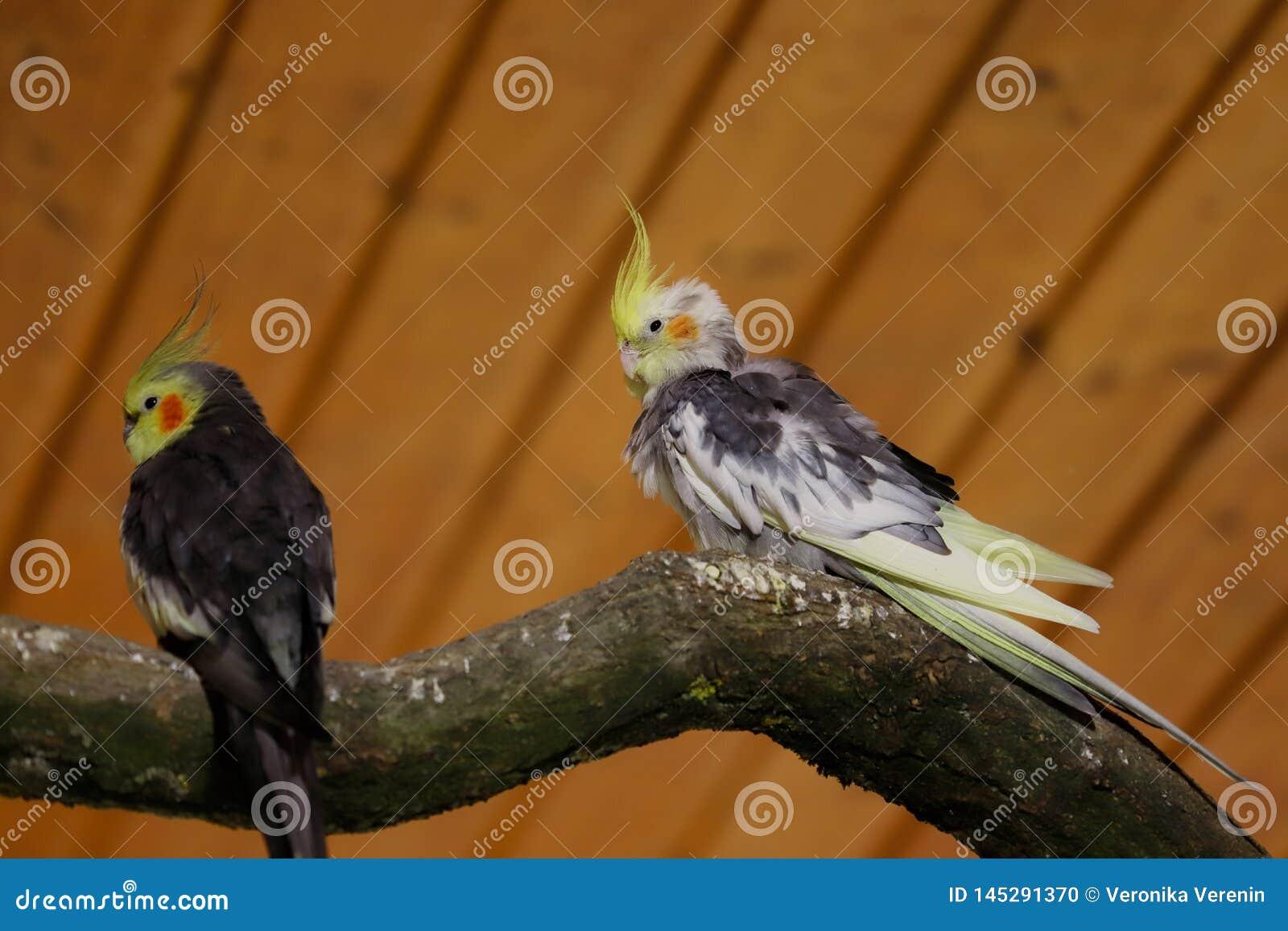 Άποψη των γκρίζος-κίτρινων αρσενικών παπαγάλων cockatiel