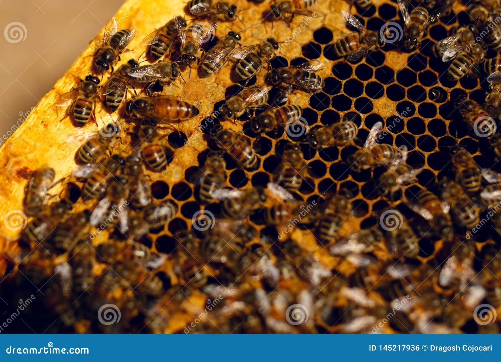 Κλείστε επάνω την άποψη των μελισσών εργασίας στα κύτταρα μελιού