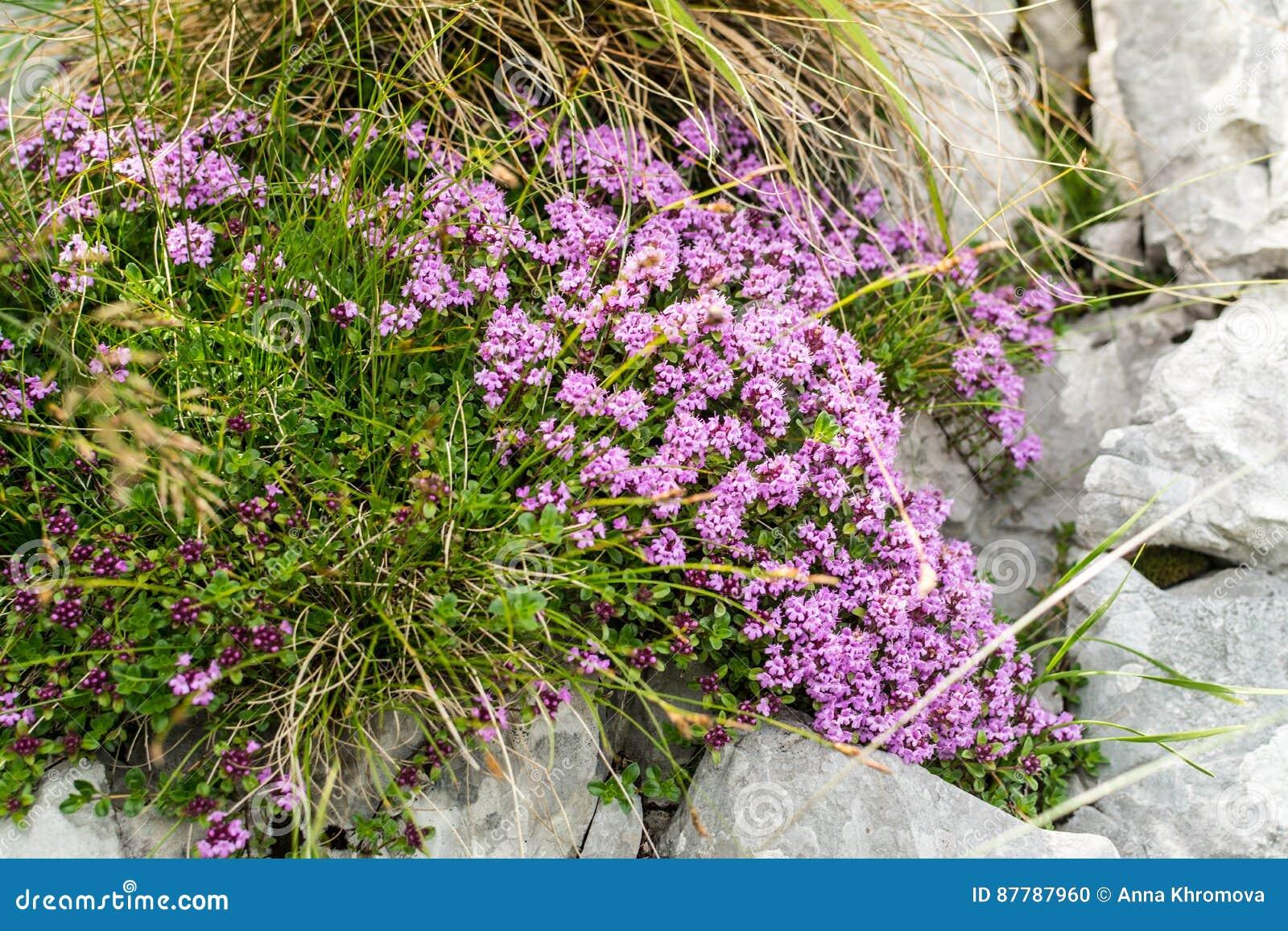 Άποψη Closeap σε έναν θάμνο του λουλουδιού θυμαριού στη δύσκολη αλπική φωτογραφική διαφάνεια