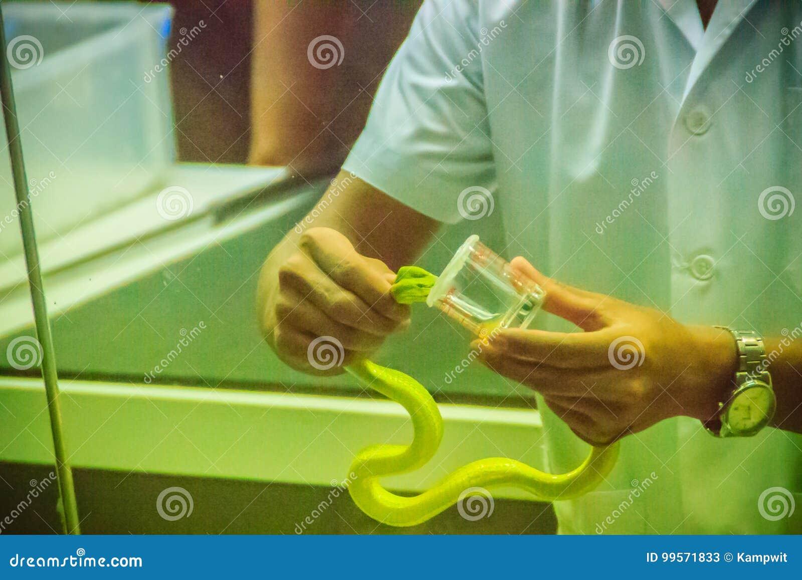 Άρμεγμα του πράσινου φιδιού οχιών κοιλωμάτων (Trimeresurus) για το δηλητήριο στο produc