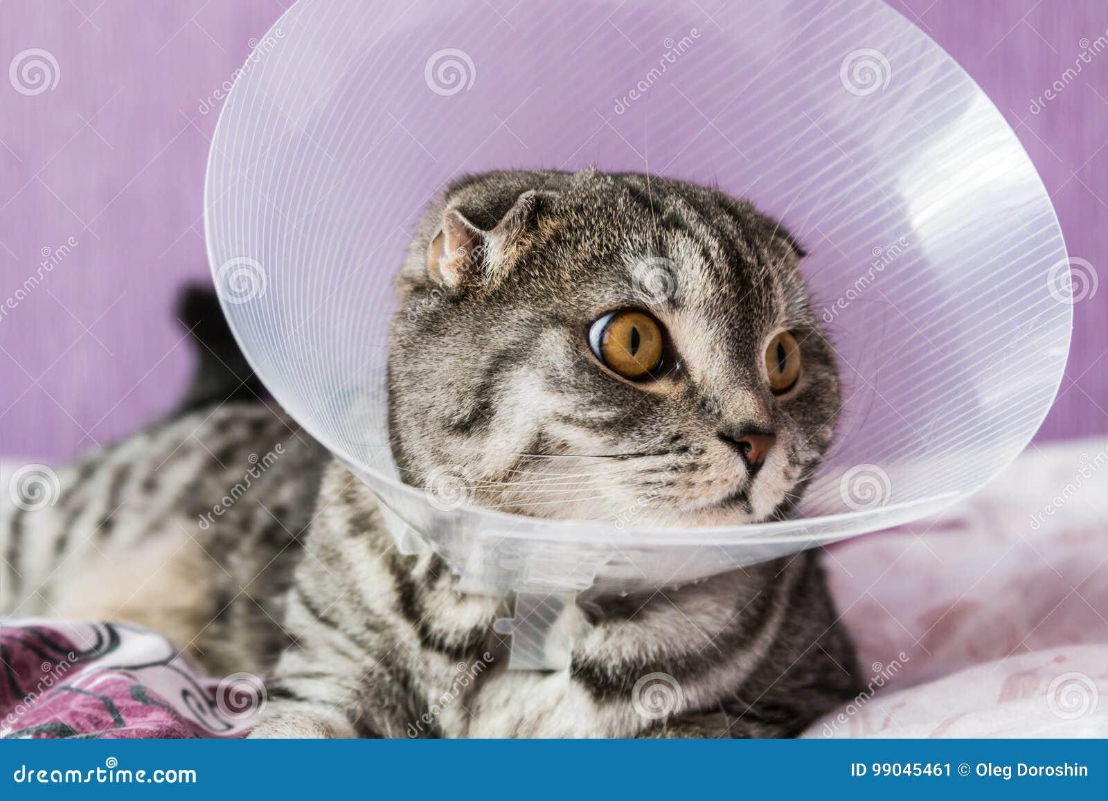 Άρρωστη σκωτσέζικη γάτα σε ένα πλαστικό προστατευτικό περιλαίμιο