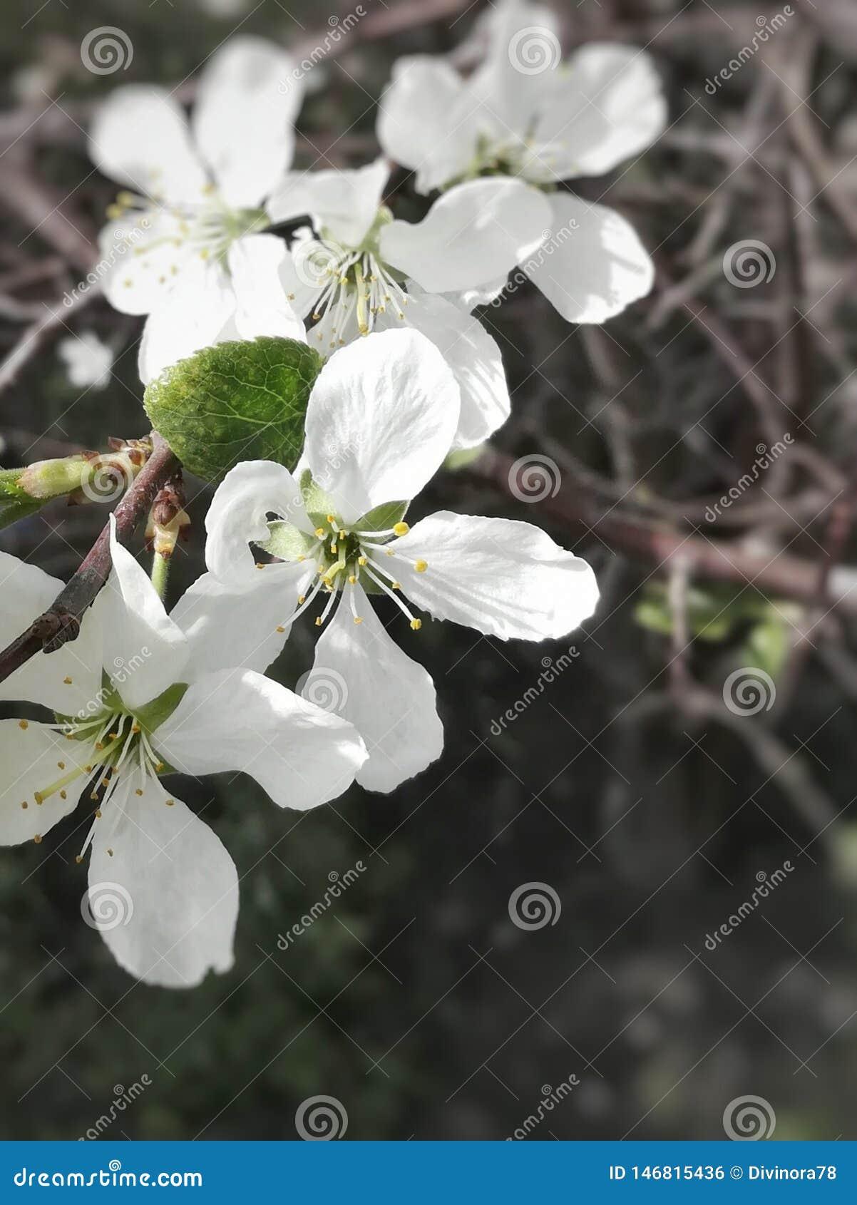Άσπρα λουλούδια κερασιών