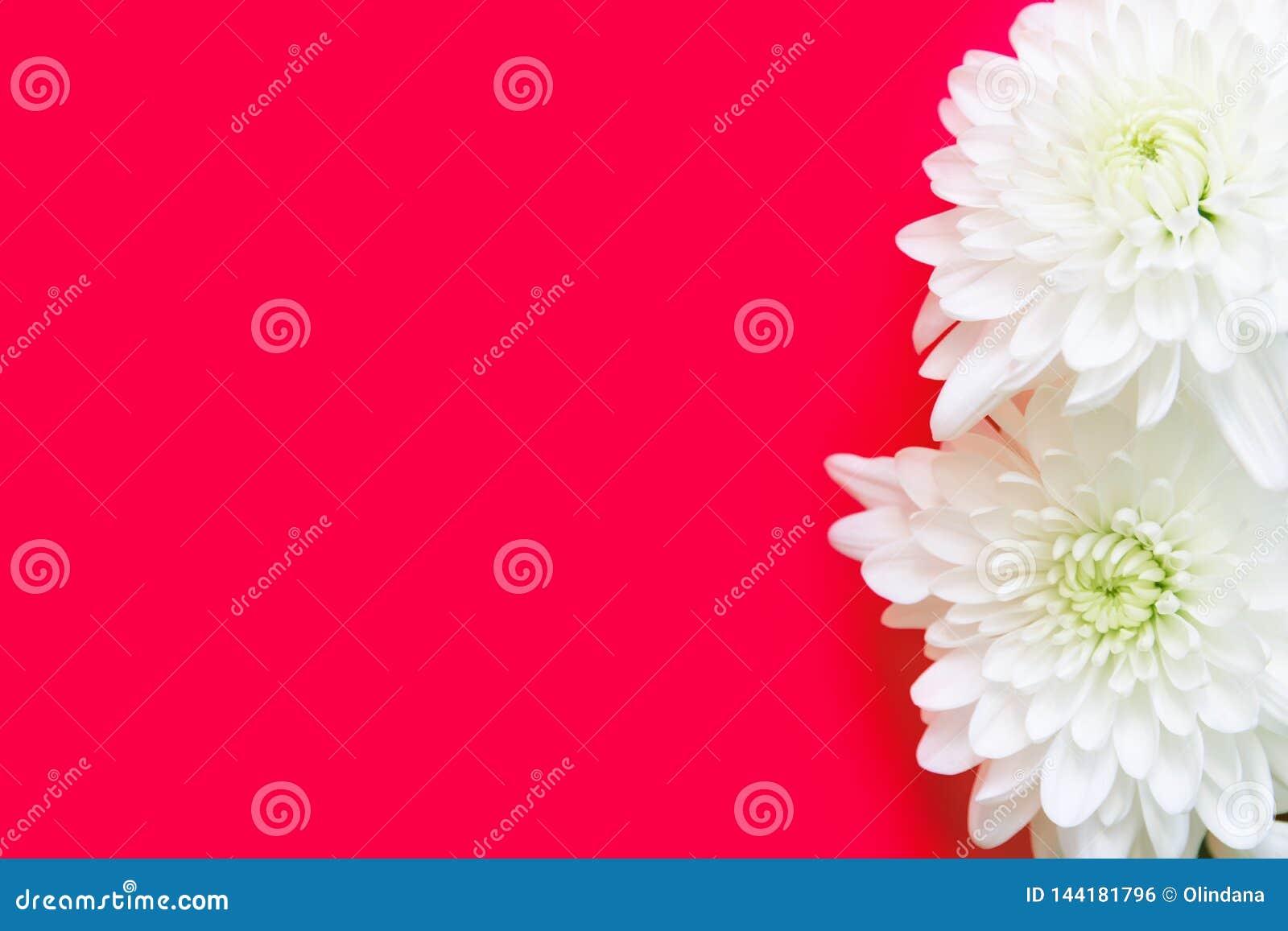 Άσπρα λουλούδια μαργαριτών χρυσάνθεμων στο ροδανιλίνης ρόδινο υπόβαθρο Ρομαντική έννοια γαμήλιας δέσμευσης Ημέρα μητέρων βαλεντίν