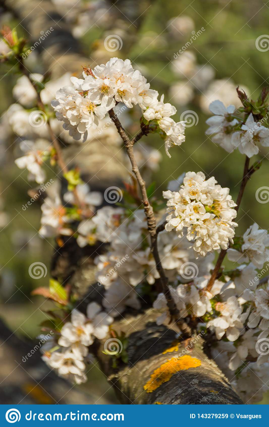 Άσπρα λουλούδια του οπωρωφόρου δέντρου σε έναν κλάδο