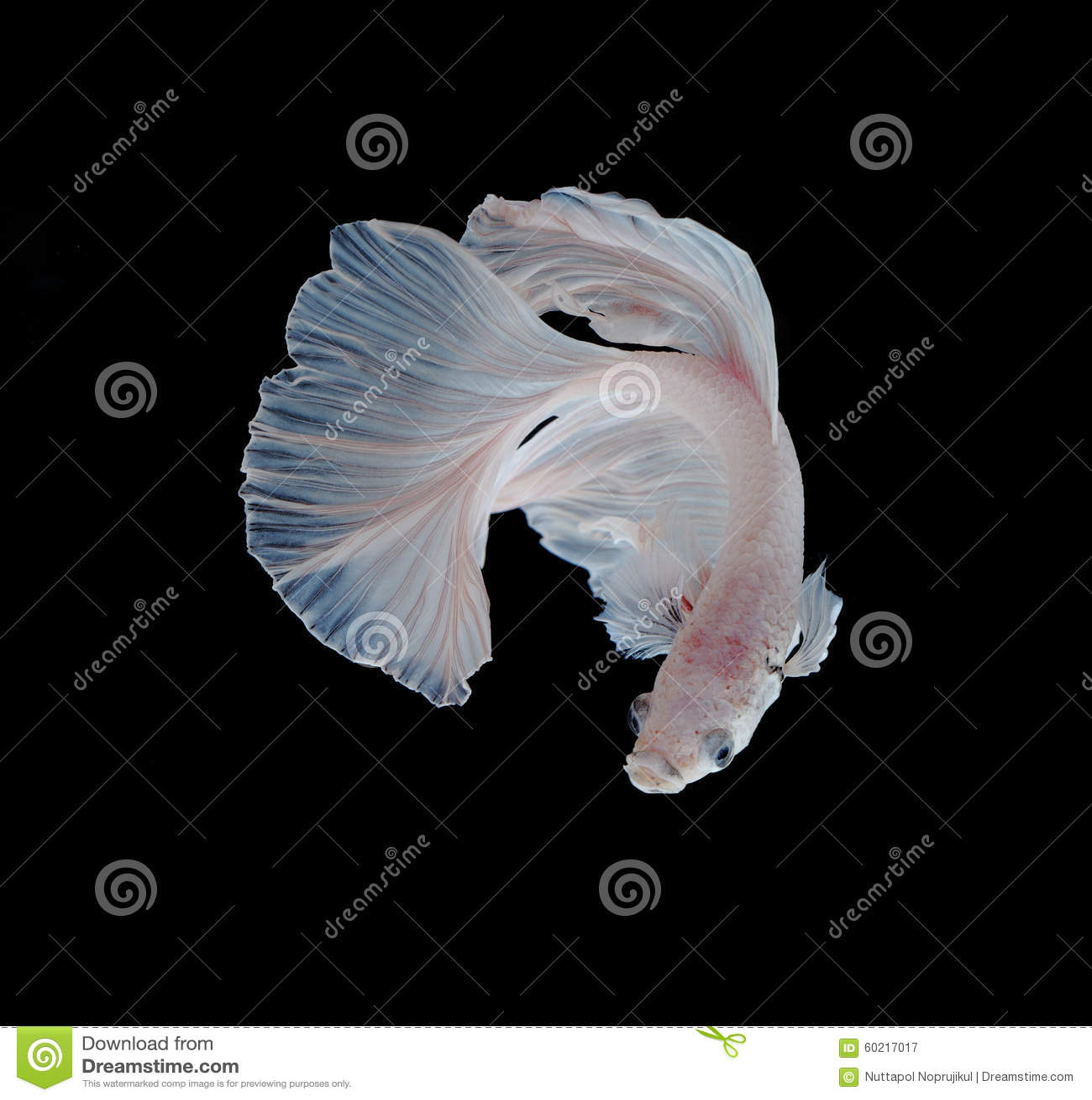 Άσπρα Platt ψάρια πάλης λευκόχρυσου σιαμέζα Άσπρο σιαμέζο fighti