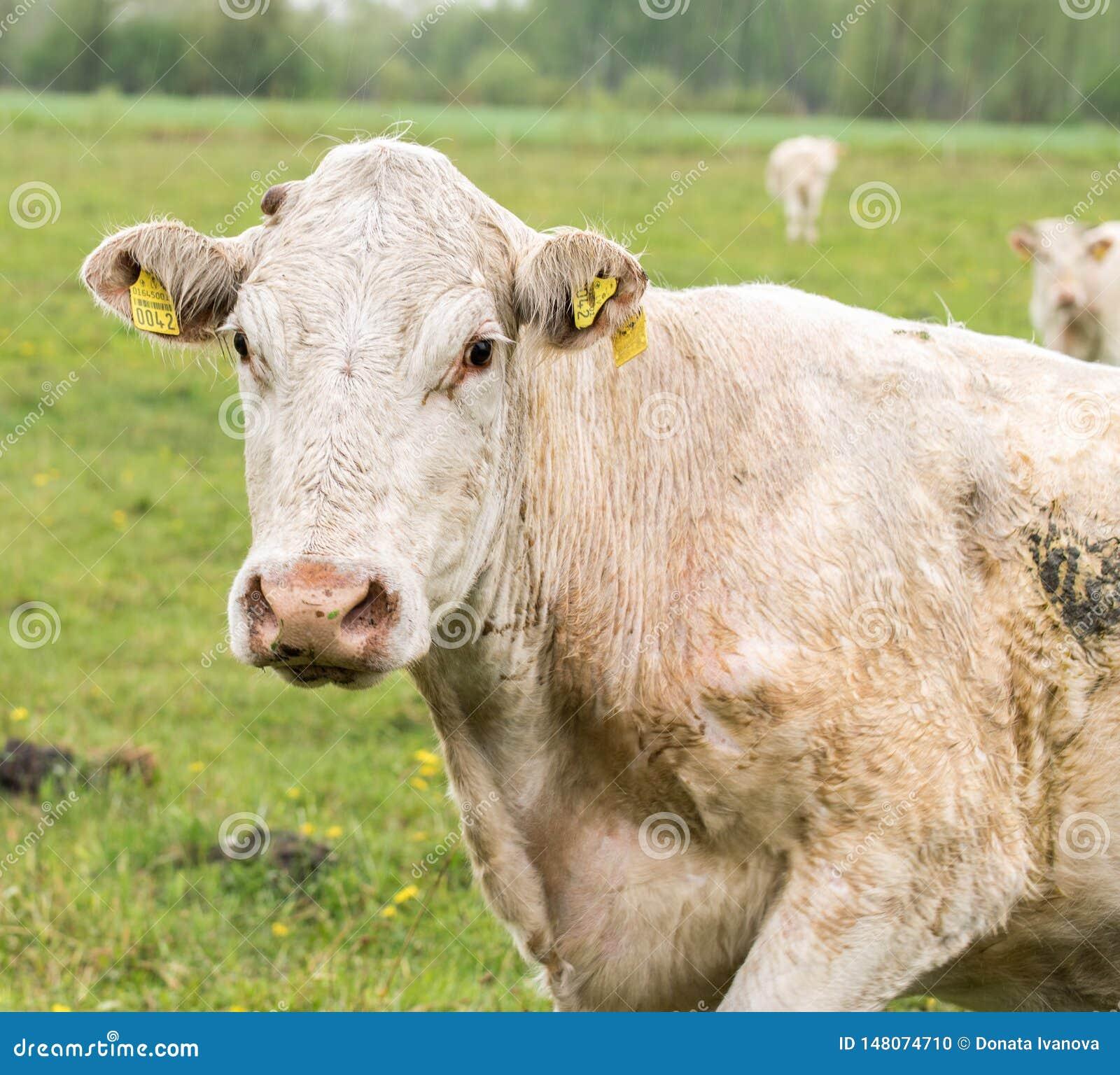 Άσπρη αγελάδα σε ένα πράσινο λιβάδι Άσπρο πορτρέτο αγελάδων