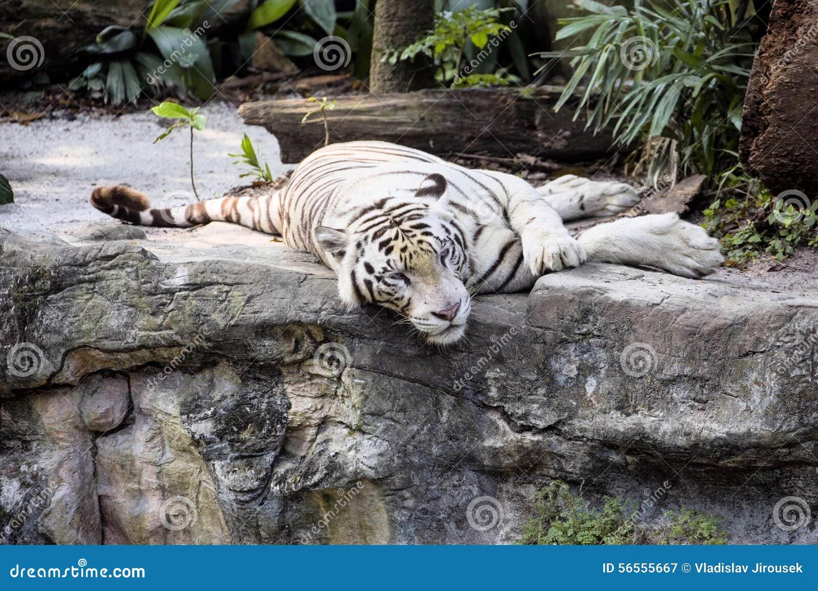 Download Άσπρη ινδική τίγρη υπολοίπου Στοκ Εικόνα - εικόνα από γάτα, χαλαρώστε: 56555667