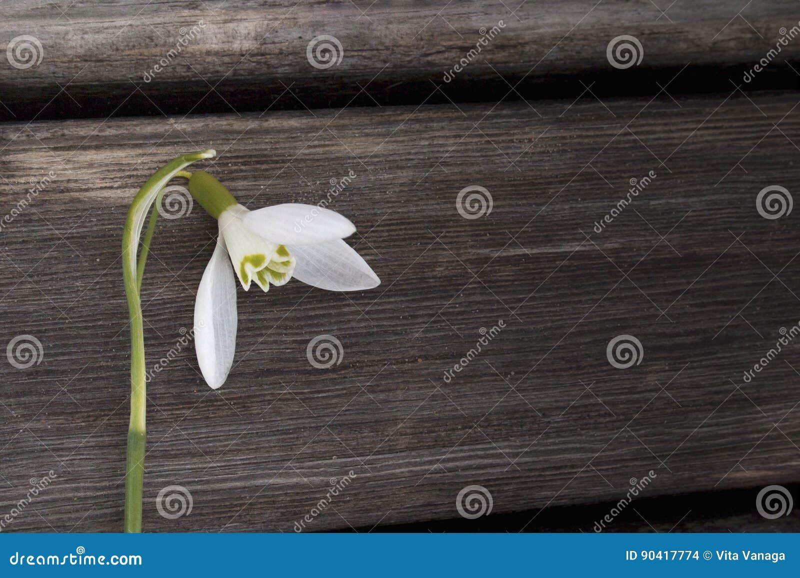 Άσπρη κινηματογράφηση σε πρώτο πλάνο snowbell στο ξύλινο γκρίζο υπόβαθρο, κενή διαστημική, σαφής διάθεση άνοιξη απλότητας
