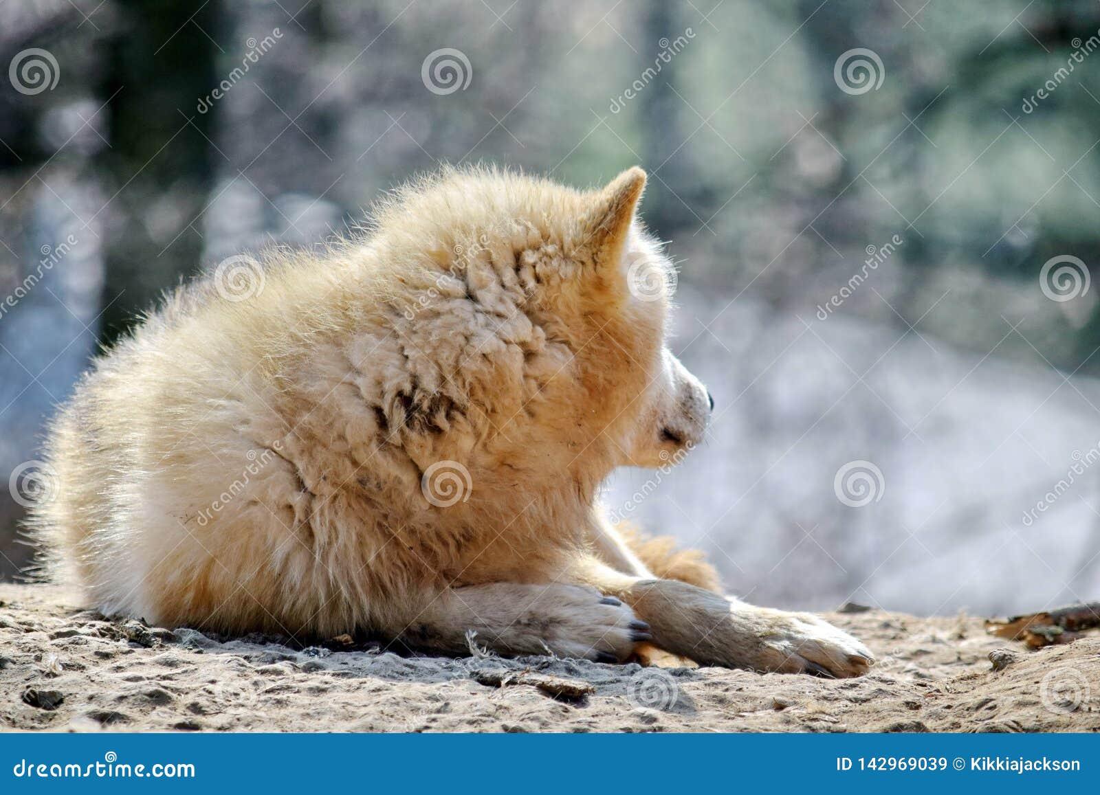 Άσπρη λύκων Canis Λύκου φωτογραφία αποθεμάτων πορτρέτου Arctos αρκτική
