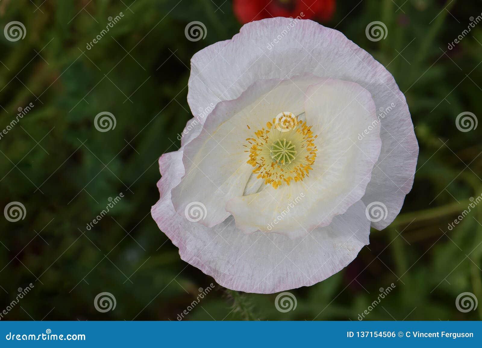 Άσπρη παπαρούνα Mandala 02 ειρήνης της Φλαμανδικής περιοχής