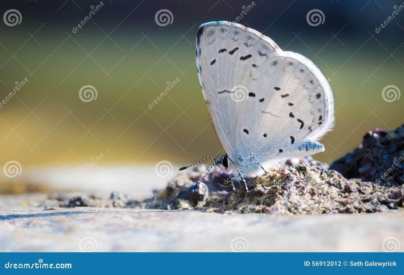 Άσπρη πεταλούδα