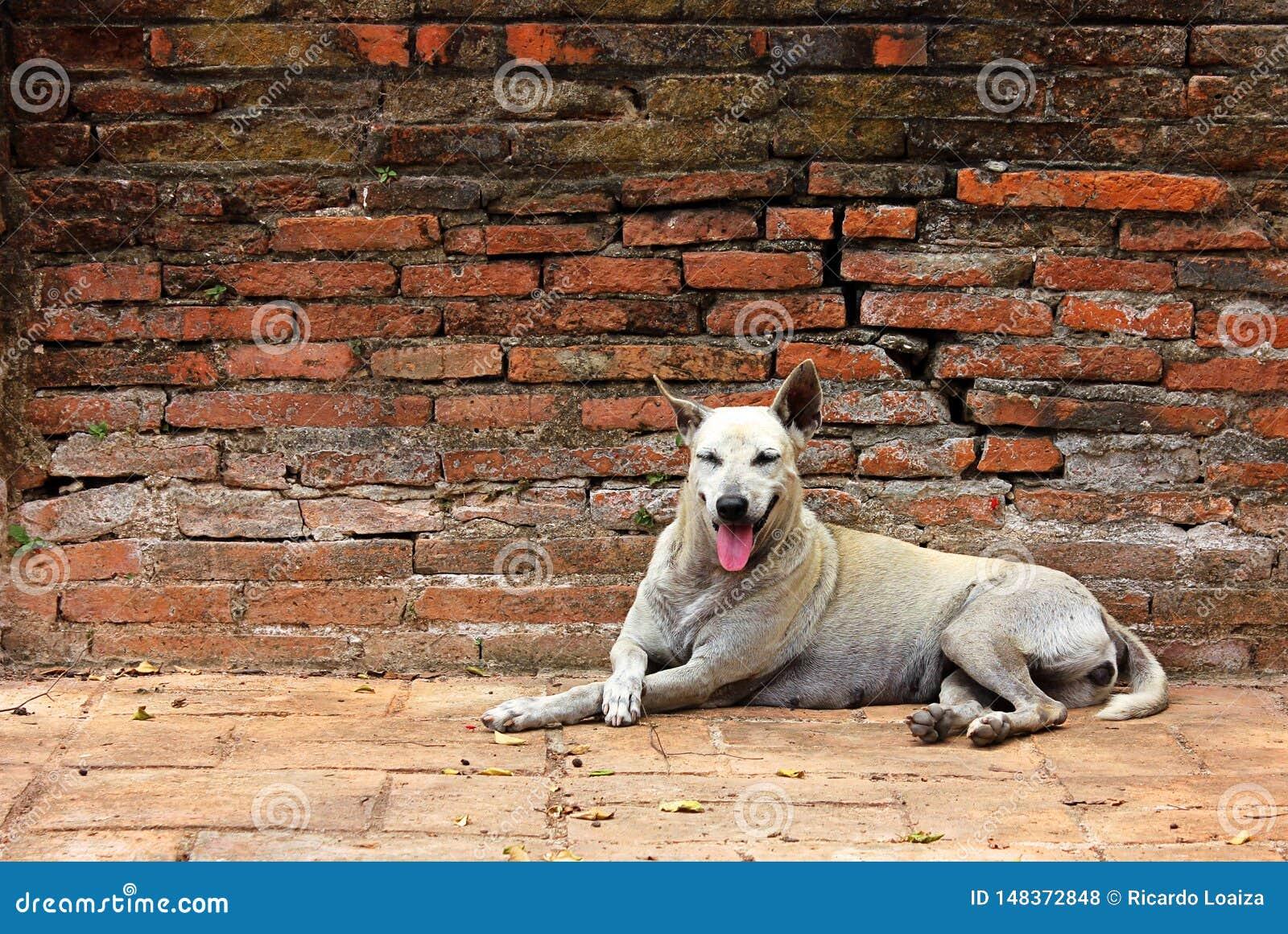 Άσπρη στηργμένος ηρεμία περιπλανώμενων σκυλιών σε έναν τούβλινο τοίχο