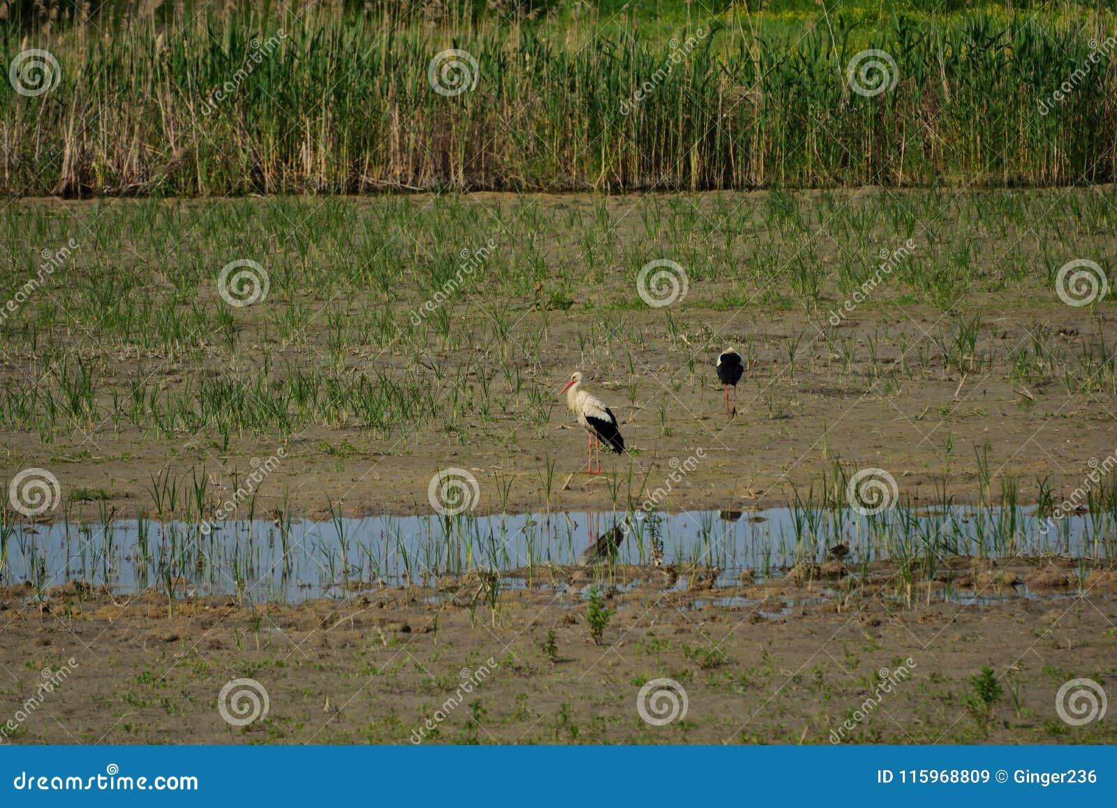 Άσπροι πελαργοί στην επιφύλαξη πουλιών Hutovo Blato