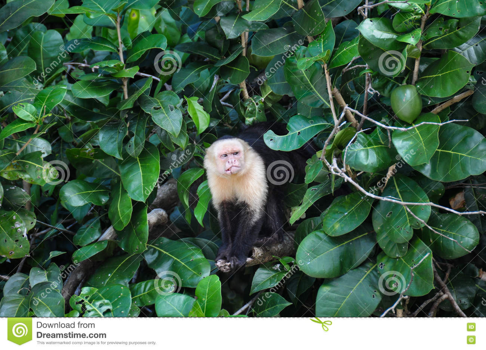 Άσπρος αντιμέτωπος Capuchin πίθηκος στο εθνικό πάρκο του Manuel Antonio, μαρούλι