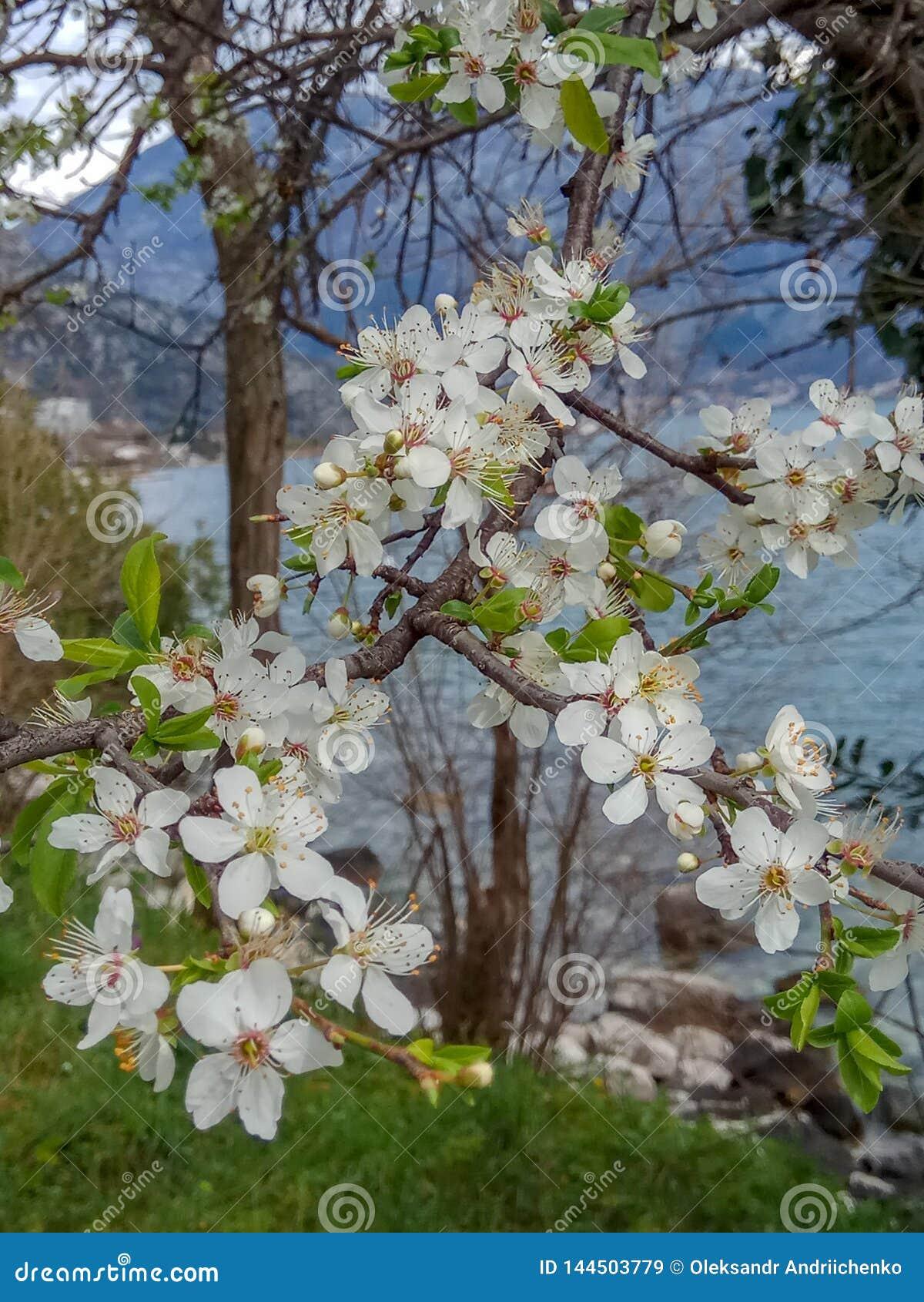 Άσπρος κλάδος λουλουδιών ανθών κατά τη διάρκεια της άνοιξης κοντά στη θάλασσα