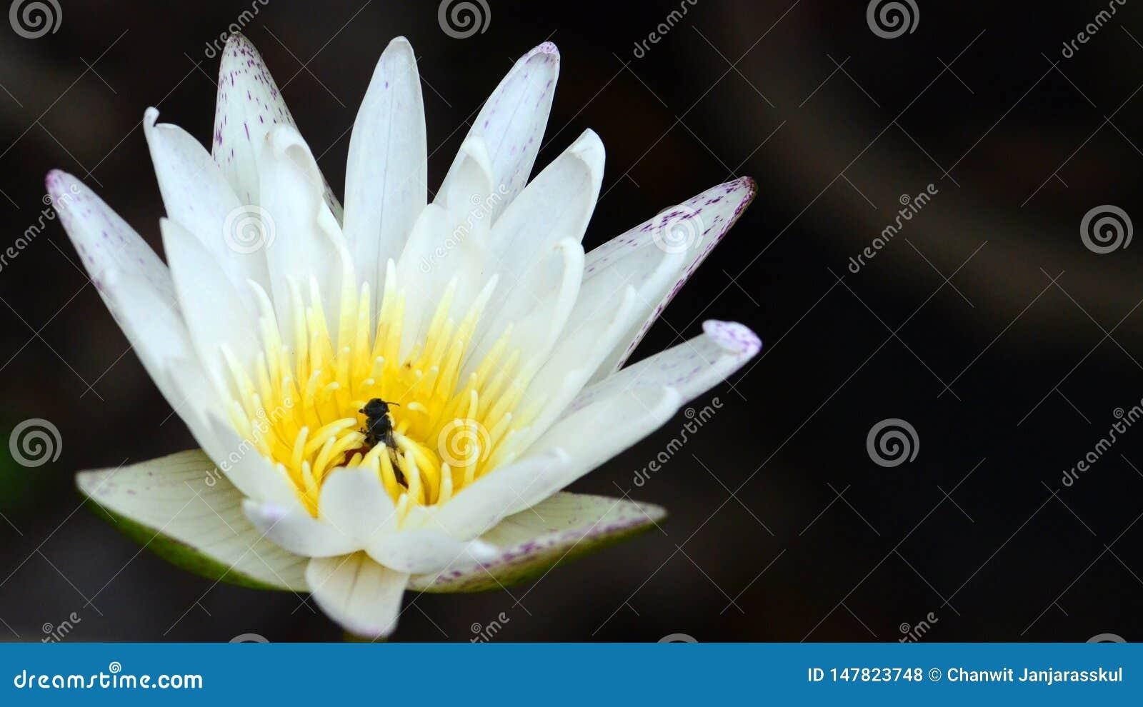 Άσπρος λωτός waterlily με τη μέλισσα που κρύβει μέσα
