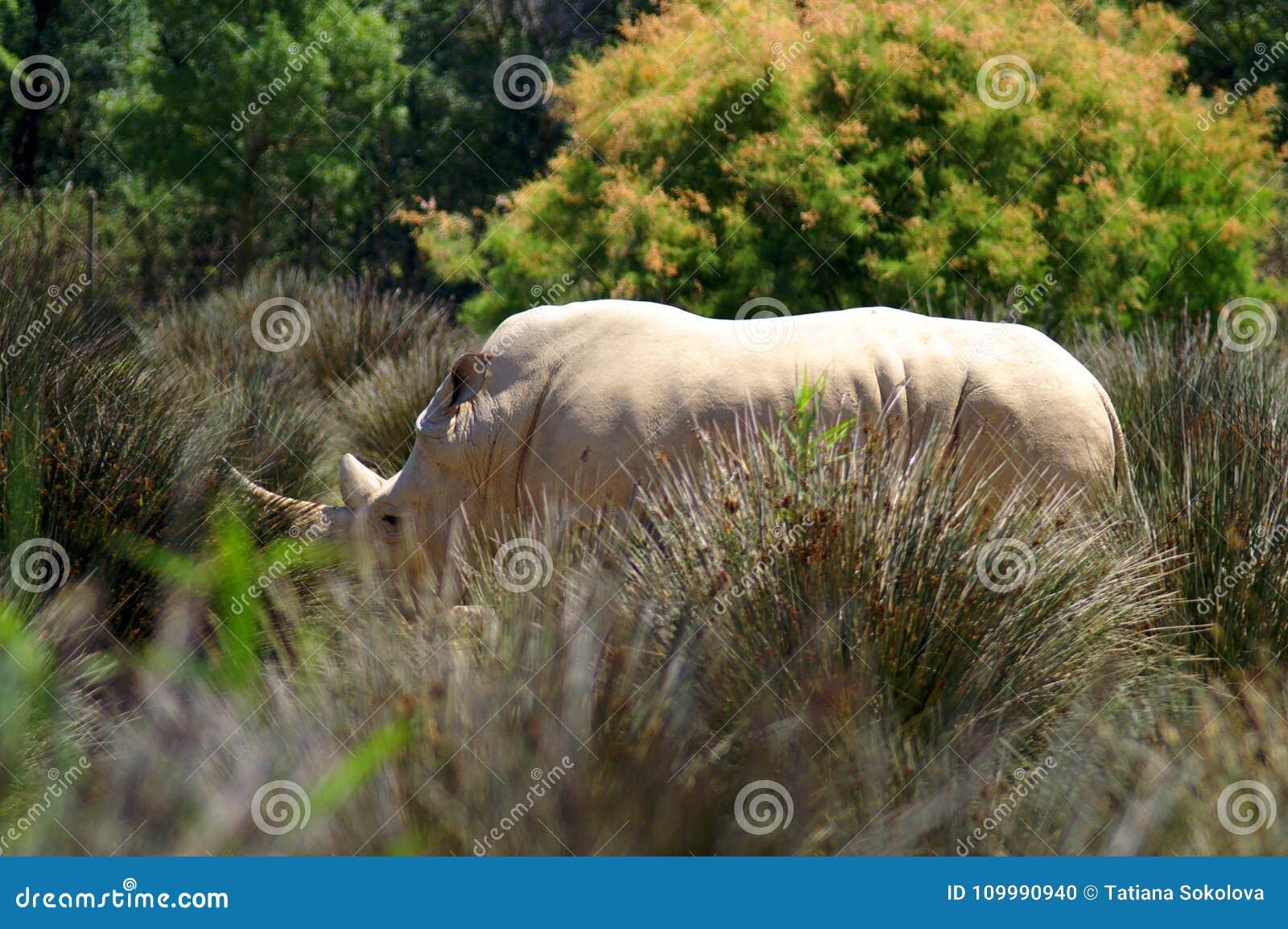 Άσπρος ρινόκερος στην υψηλή χλόη