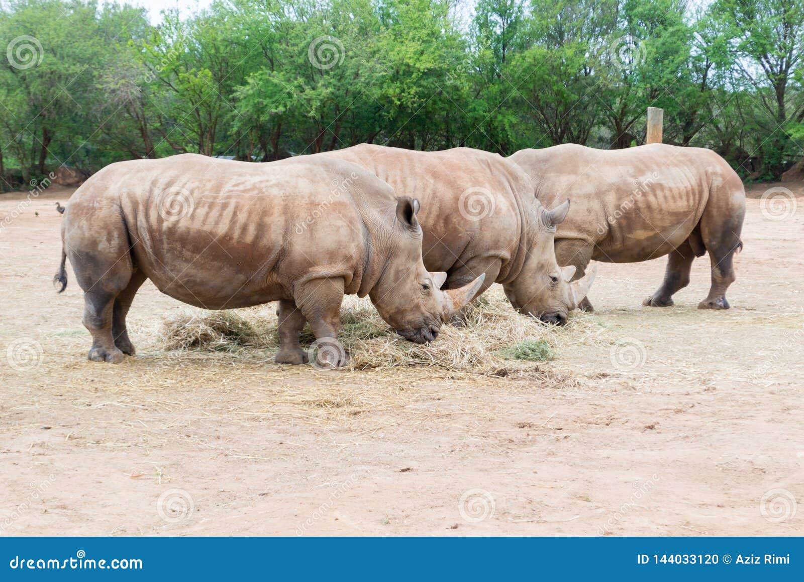 Άσπρος ρινόκερος τρία