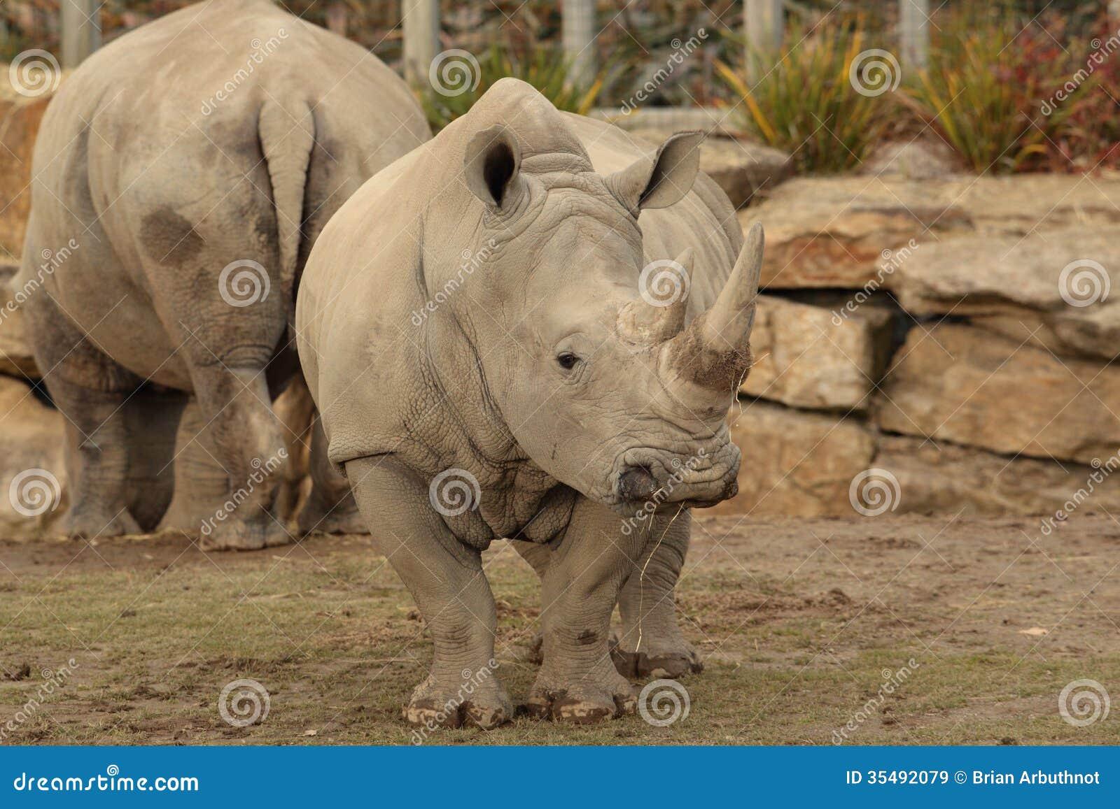 Άσπρος ρινόκερος.
