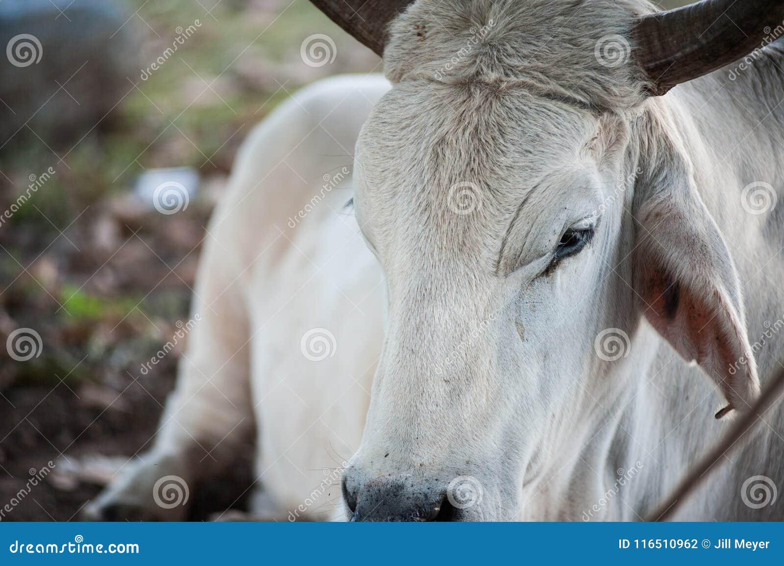 Άσπρος ταύρος