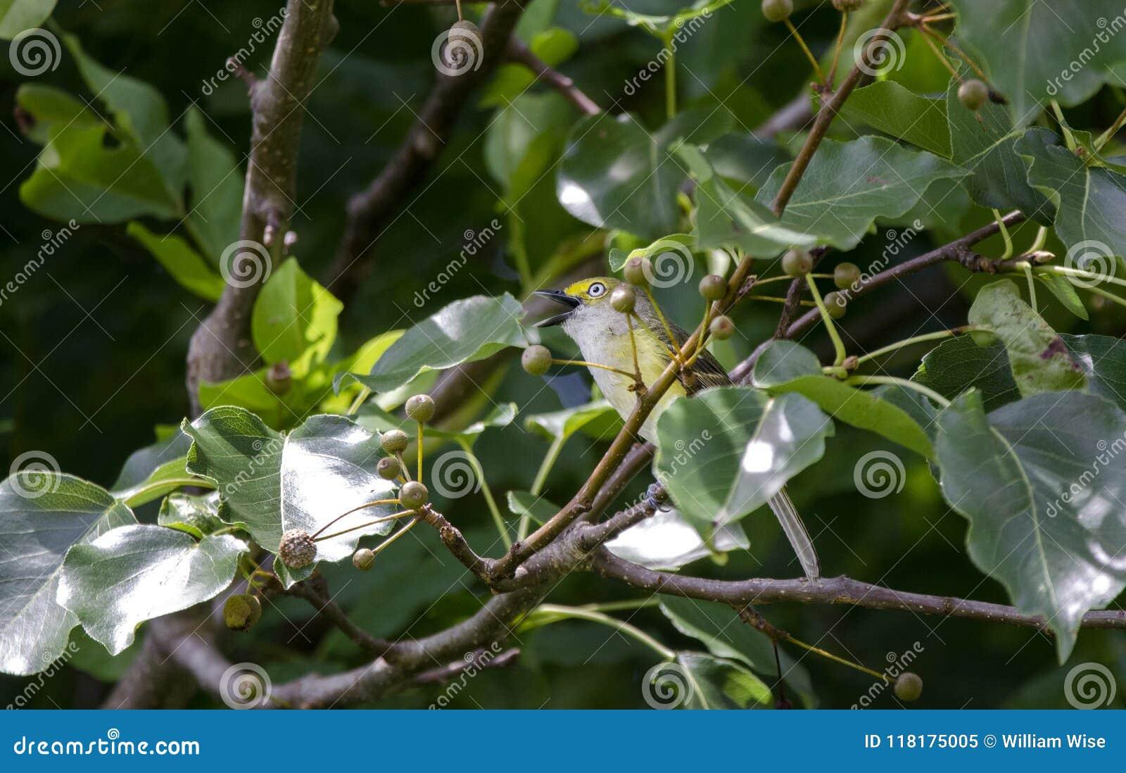 Άσπρος-eyed τραγούδι Songbird Vireo στο δέντρο αχλαδιών του Μπράντφορντ, Γεωργία ΗΠΑ