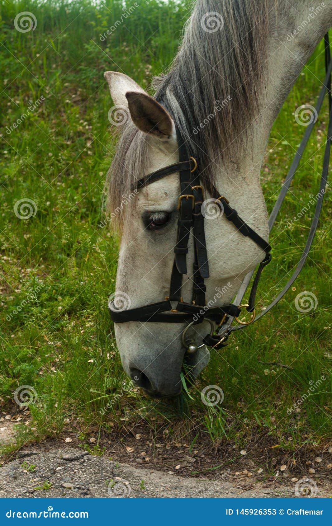 Άσπρο άλογο η άσπρη γκρίζα βοσκή αλόγων στην πράσινη χλόη στο δάσος, άλογο εκμεταλλεύτηκε στο λουρί δέρματος, στενό επάνω πορτρέτ
