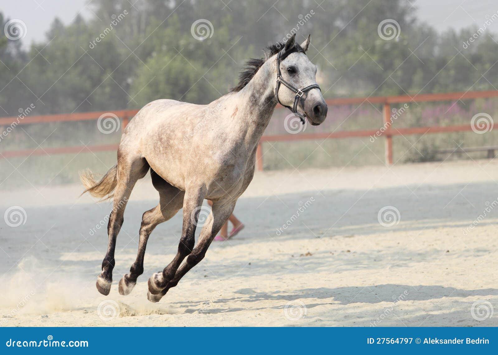 Άσπρο άλογο τρεξίματος στο αγρόκτημα