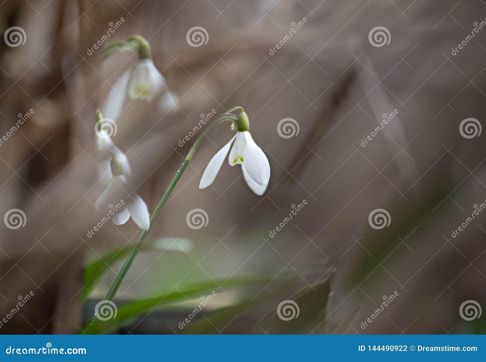 Άσπρο λουλούδι άνοιξη snowdrop πρώτο