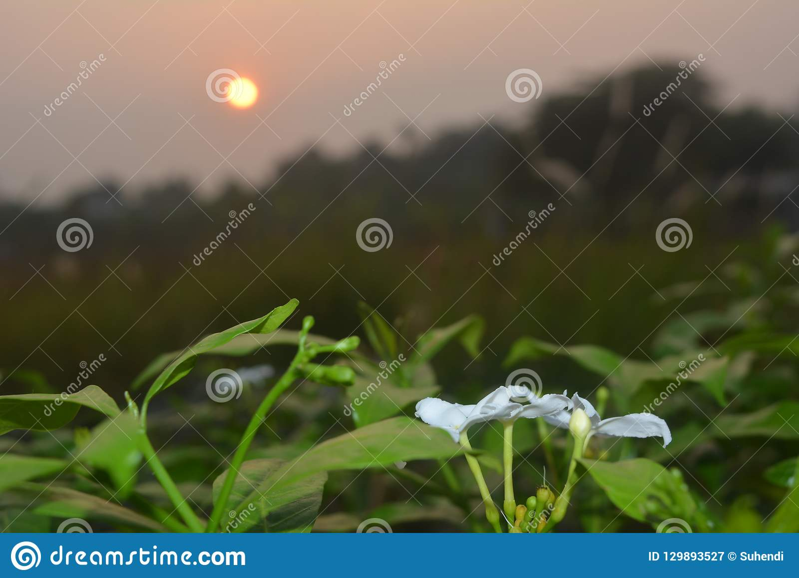 Άσπρο λουλούδι με το υπόβαθρο ανατολής στο πρωί
