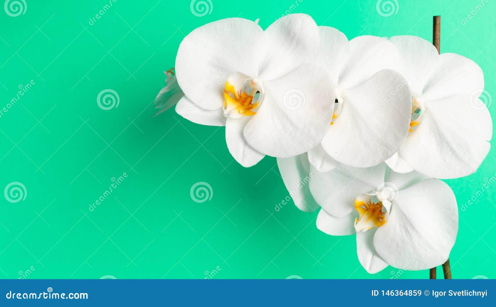 Άσπρο λουλούδι ορχιδεών σε ένα υπόβαθρο μεντών