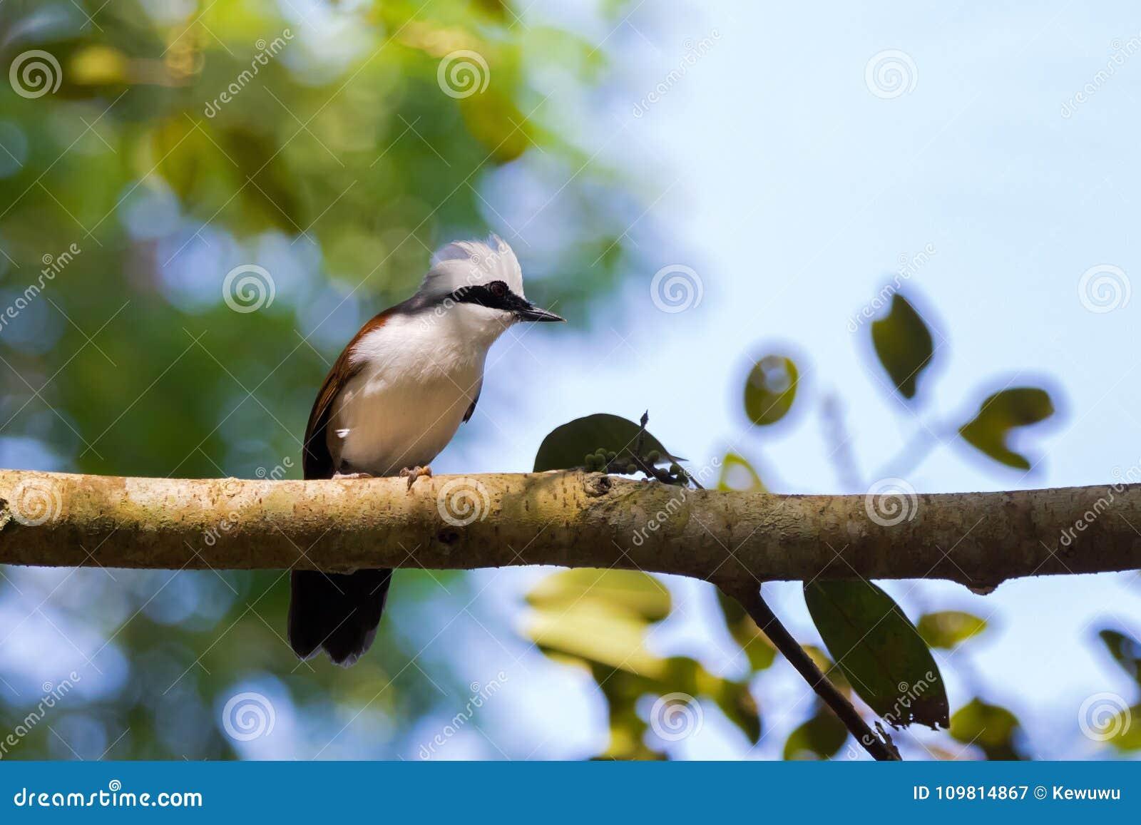 Άσπρο λοφιοφόρο πουλί laughingthrush με την άσπρη κουκούλα, αυξημένος λόφος,