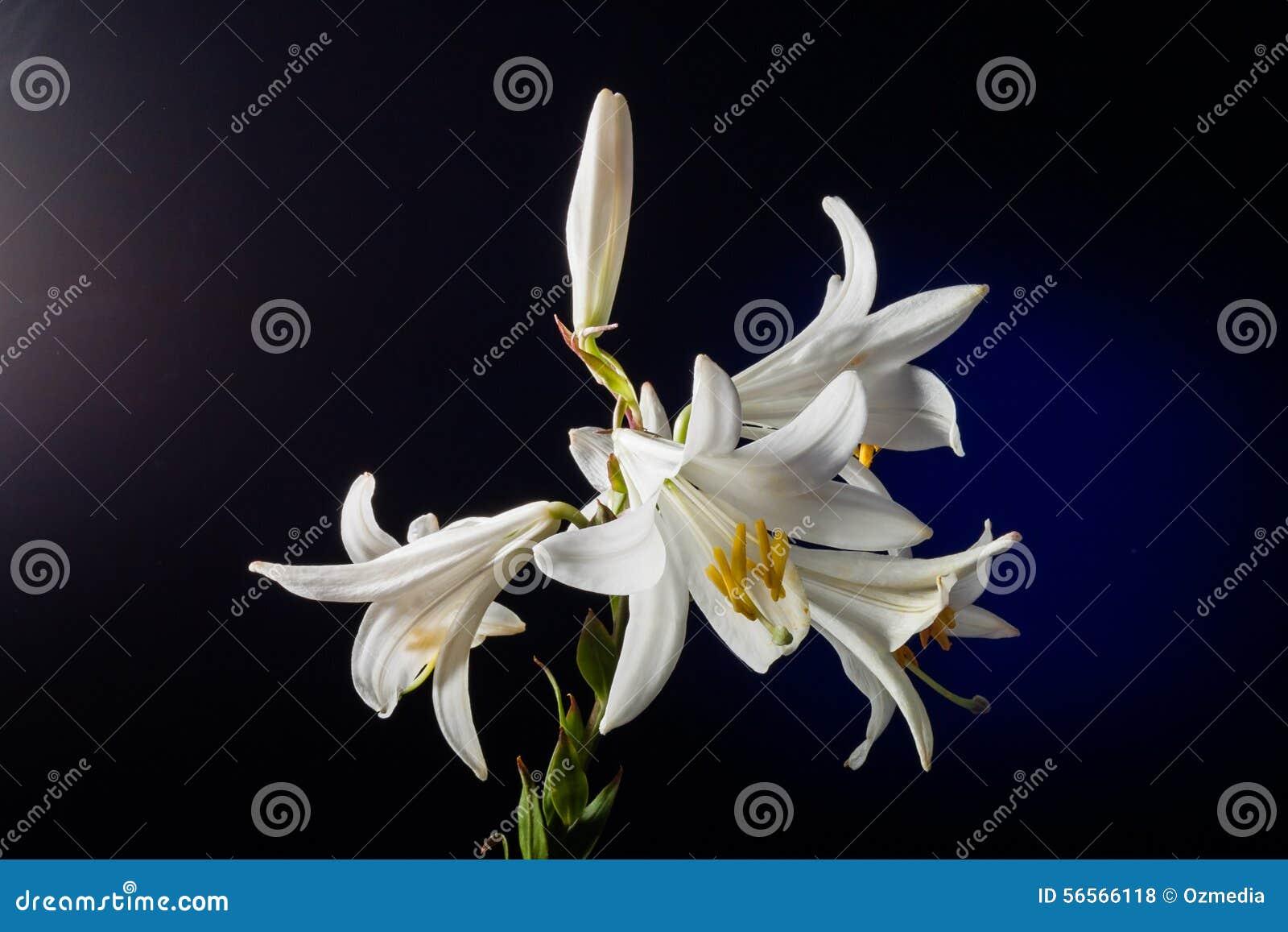 Download Άσπρο λουλούδι κρίνων στοκ εικόνες. εικόνα από χρώμα - 56566118