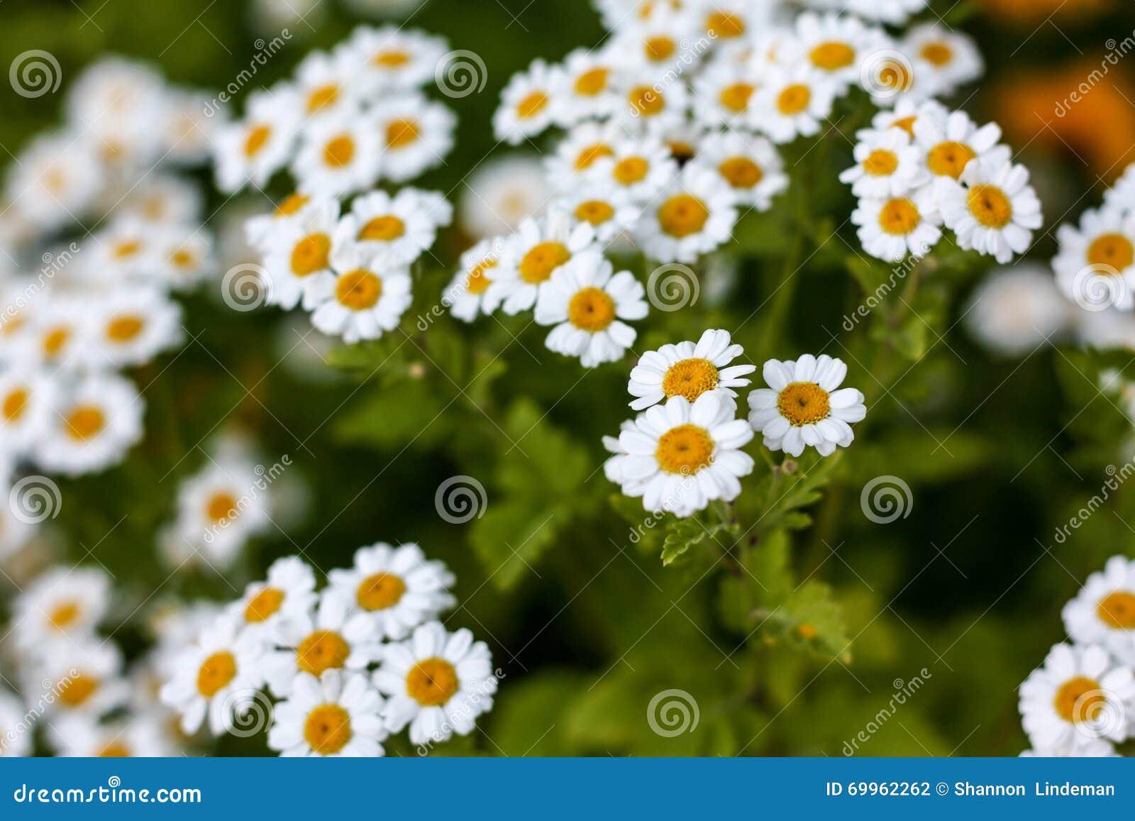 Άσπρο λουλούδι της Daisy