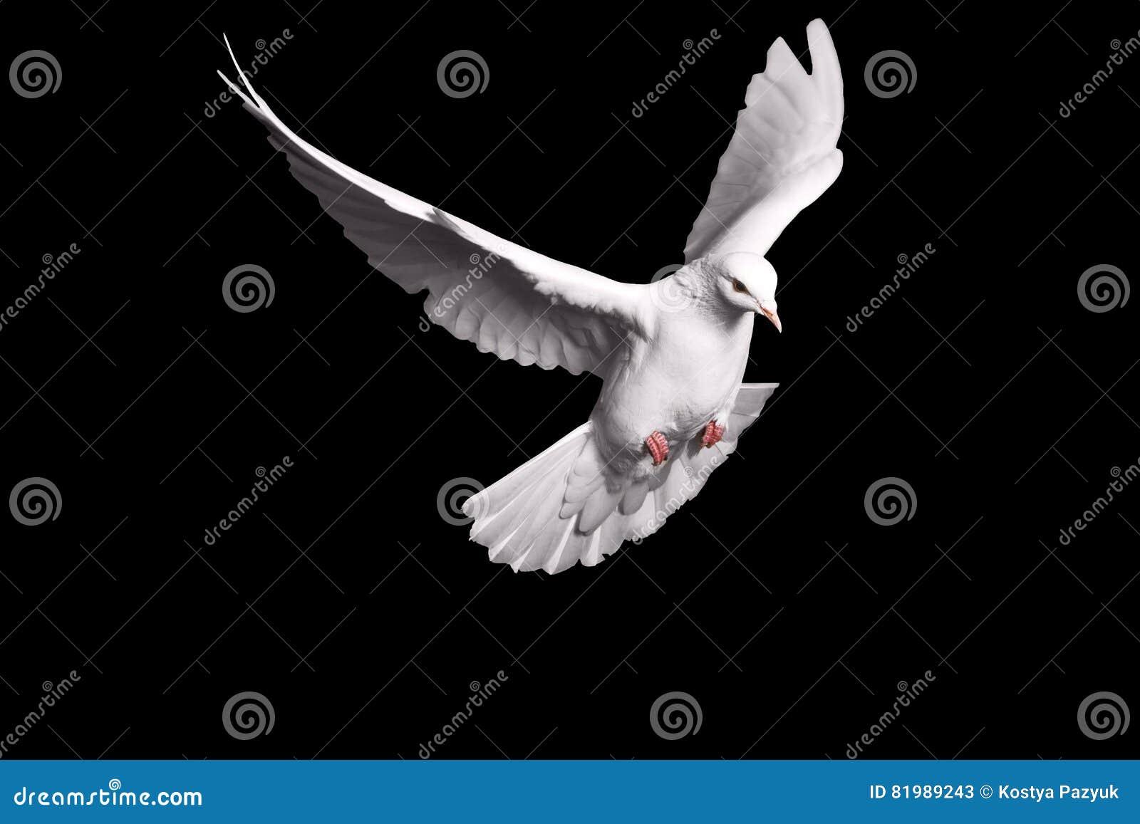Άσπρο περιστέρι που πετά στο μαύρο υπόβαθρο για την έννοια ελευθερίας στο ψαλίδισμα της πορείας, διεθνής ημέρα της ειρήνης 2017
