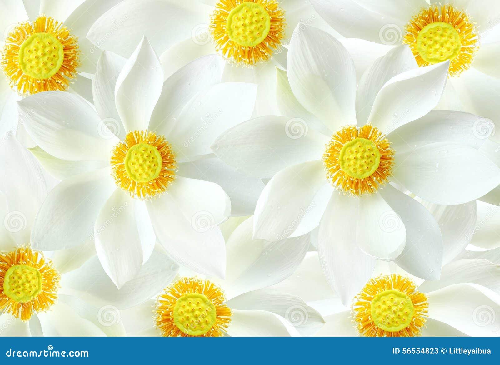 Download Άσπρο υπόβαθρο λουλουδιών λωτού Στοκ Εικόνα - εικόνα από πέταλο, λουλούδια: 56554823