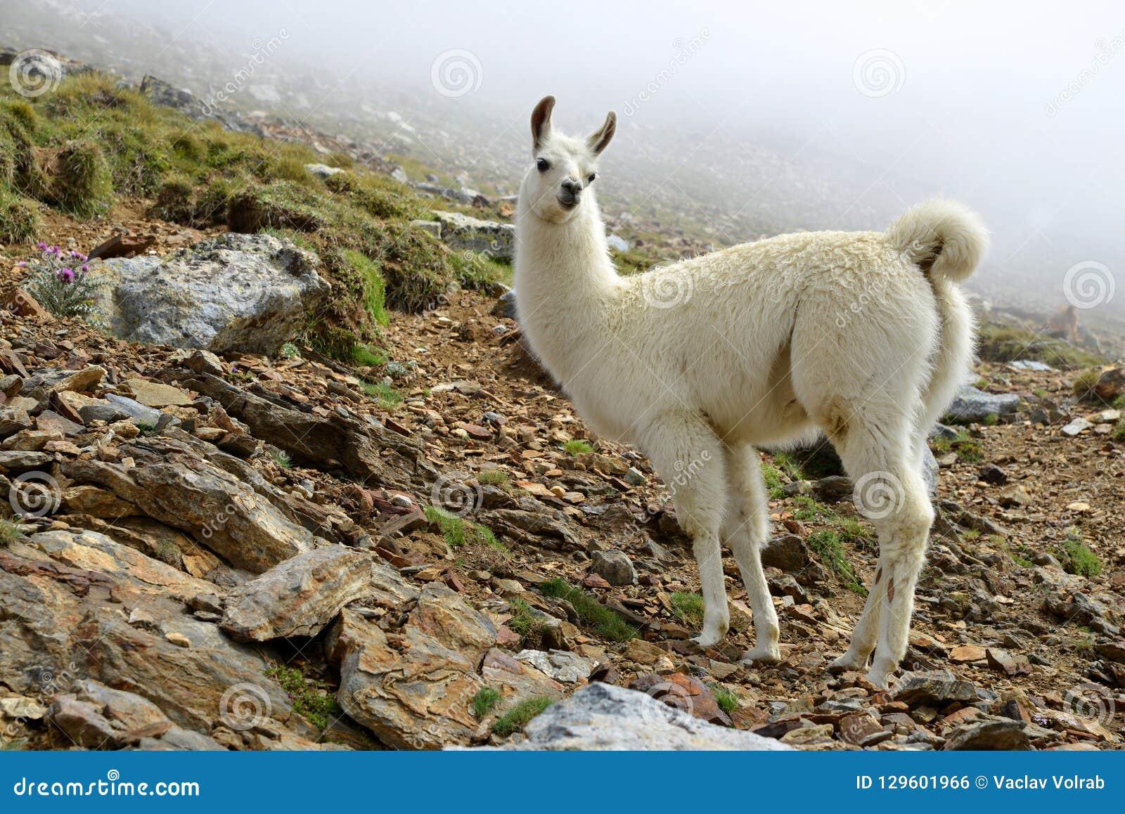 Άσπρο Llama glama λάμα