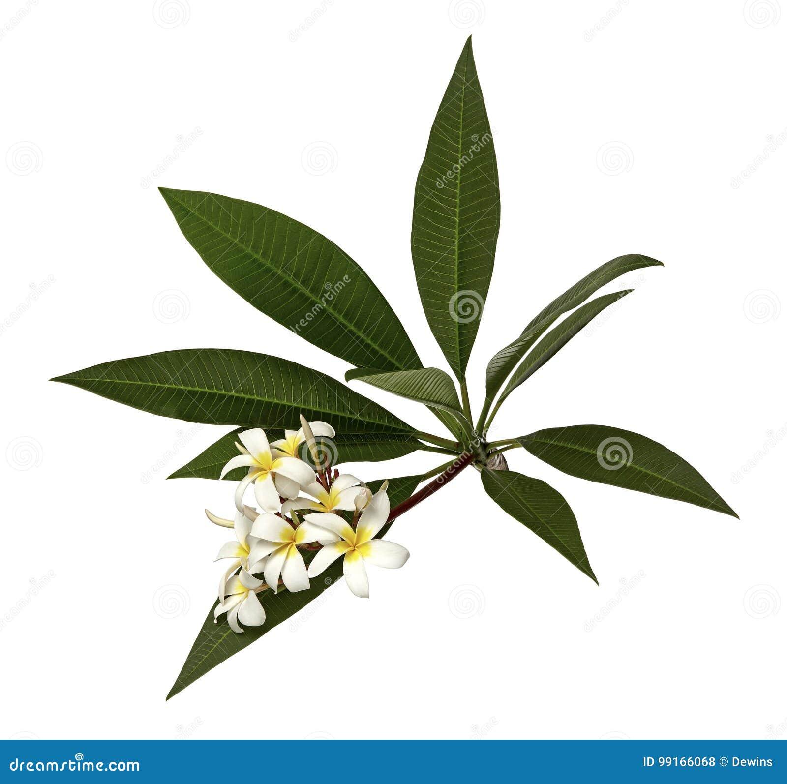 Άσπρο Plumeria ανθίζει Frangipani, ευώδες άσπρο λουλούδι που ανθίζει στον κλάδο με τα πράσινα φύλλα, που απομονώνονται στο άσπρο