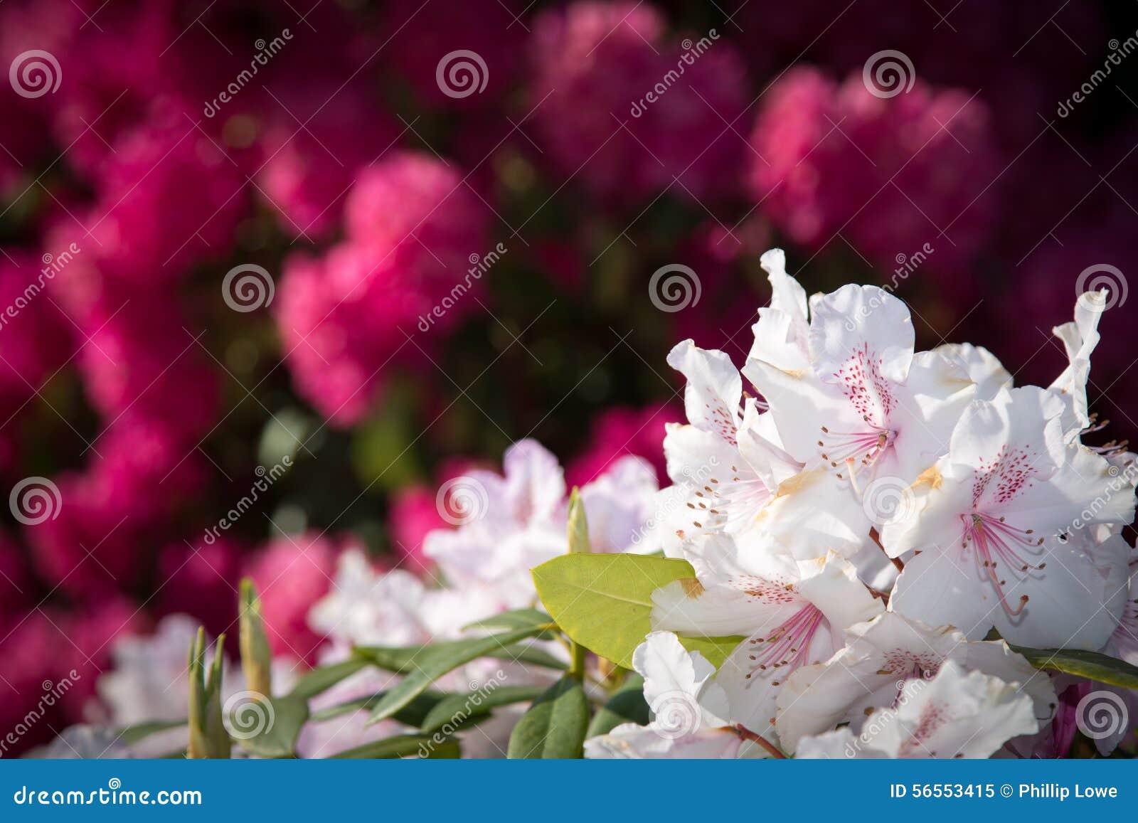 Download Άσπρο rhododendron στοκ εικόνα. εικόνα από άνοιξη, φυτό - 56553415