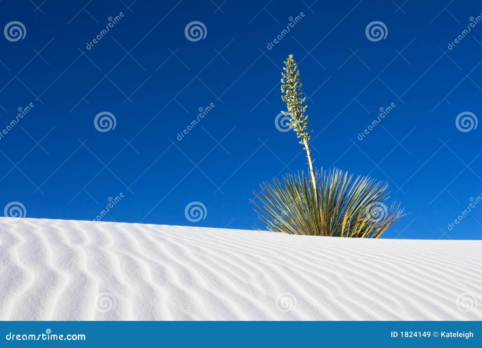 άσπρο yucca άμμων