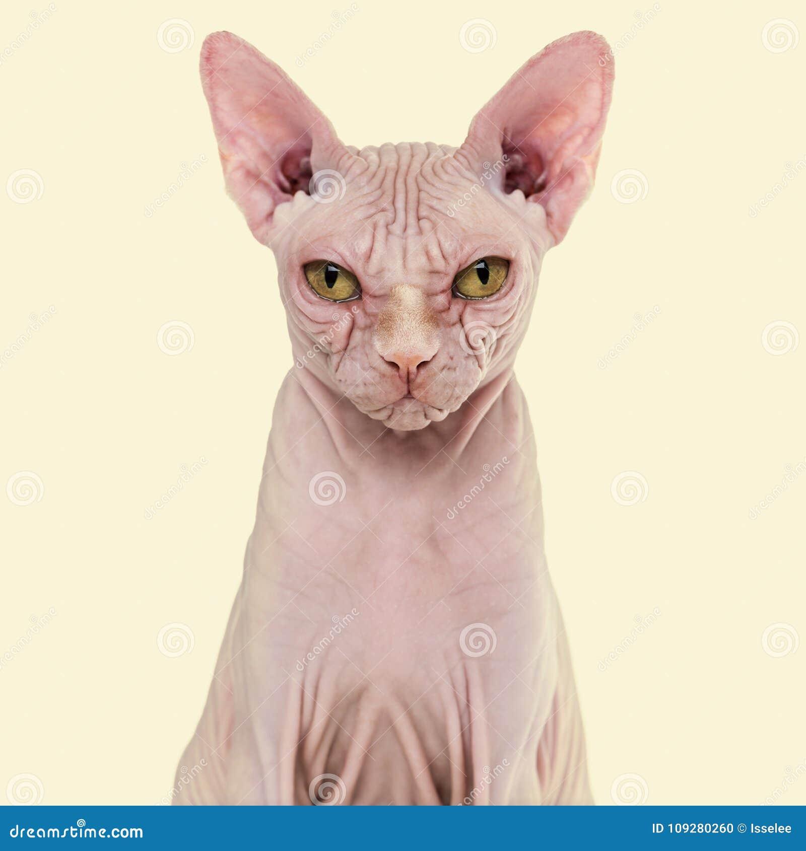 Άτριχη γάτα Sphynx, 4 χρονών, στο κίτρινο κλίμα