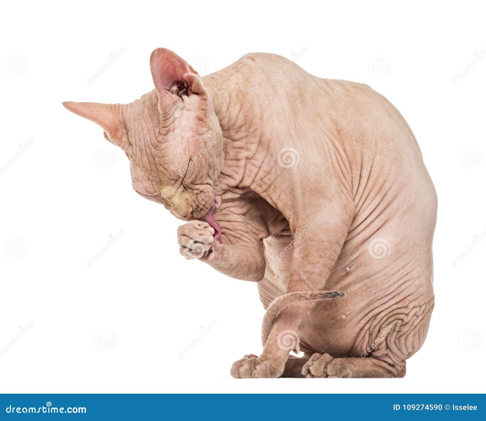 Άτριχος καλλωπισμός γατών Sphynx στο άσπρο κλίμα