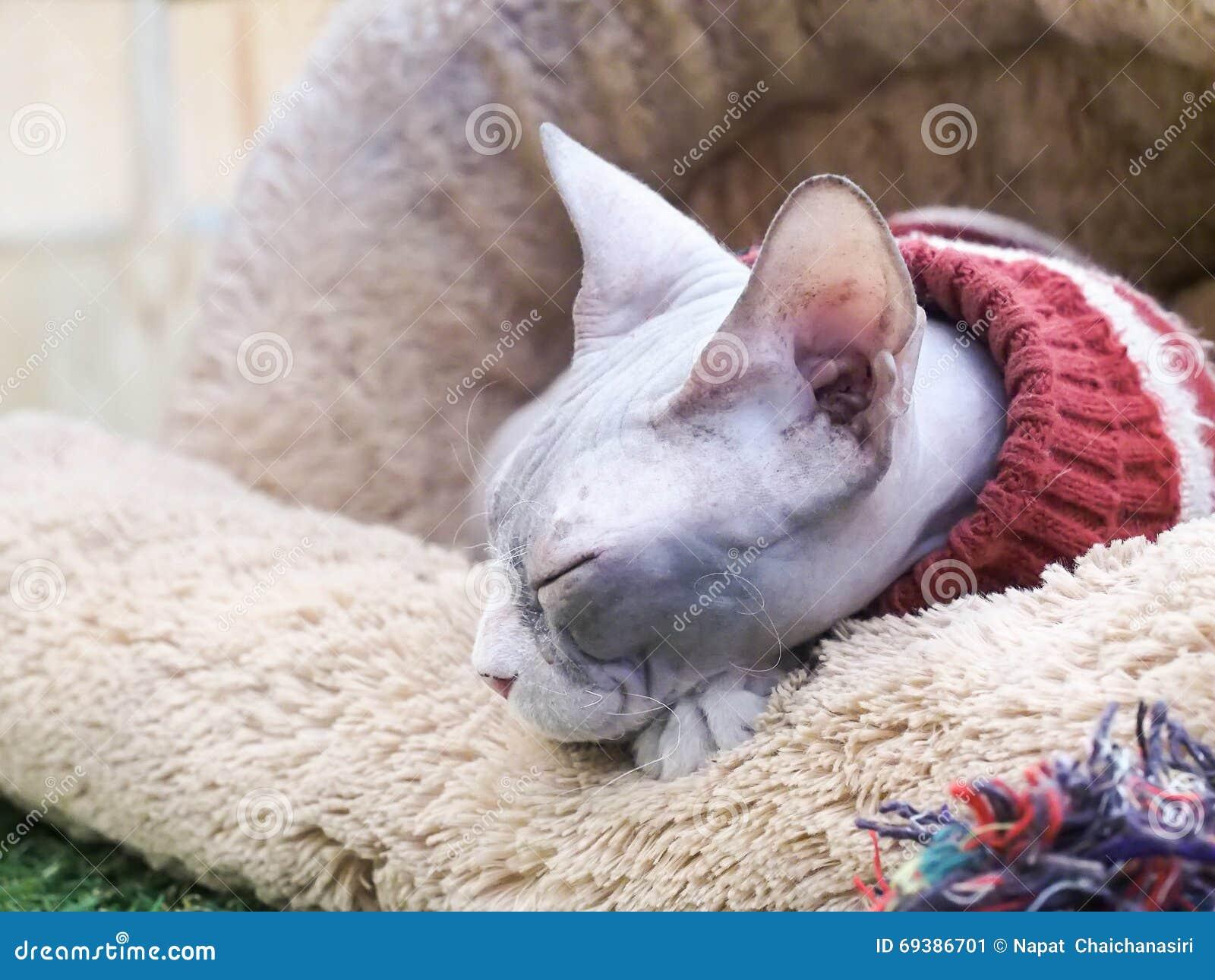 Άτριχος ύπνος γατών Sphynx στο καφετί κρεβάτι γουνών
