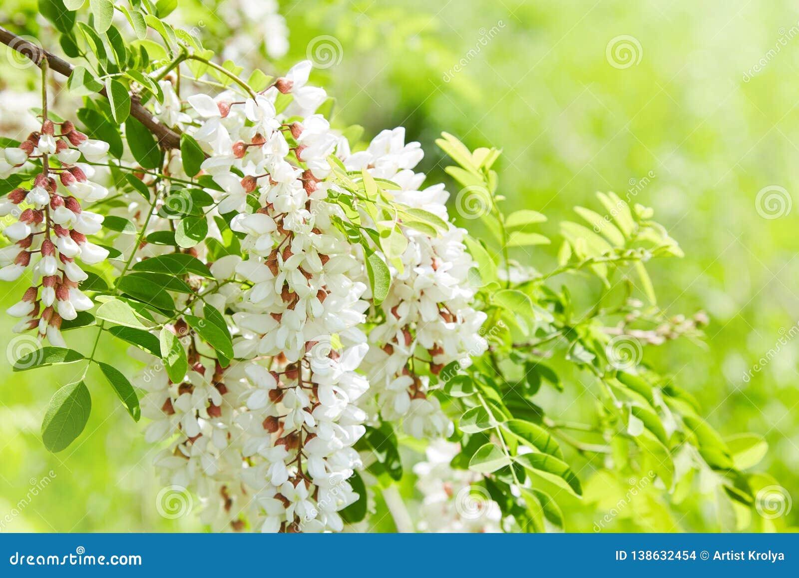 Άφθονος ανθίζοντας κλάδος ακακιών του pseudoacacia Robinia