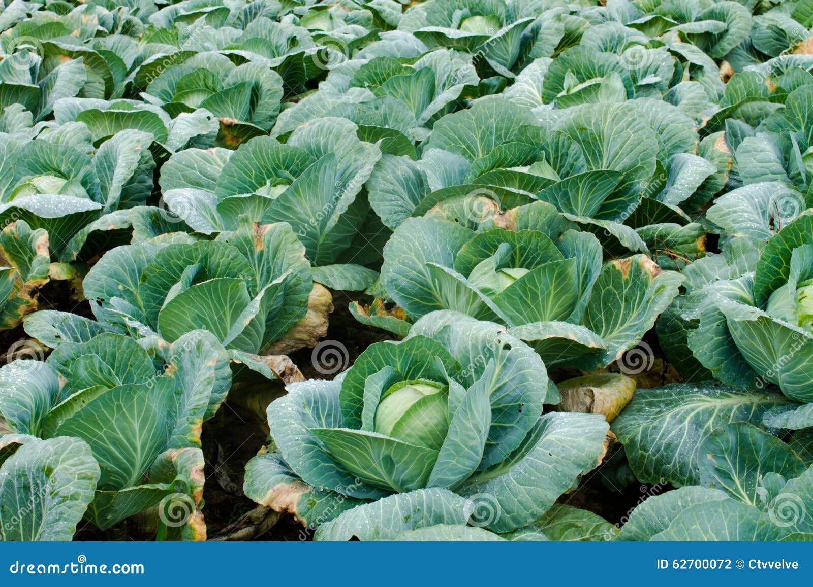 λάχανο φρέσκο