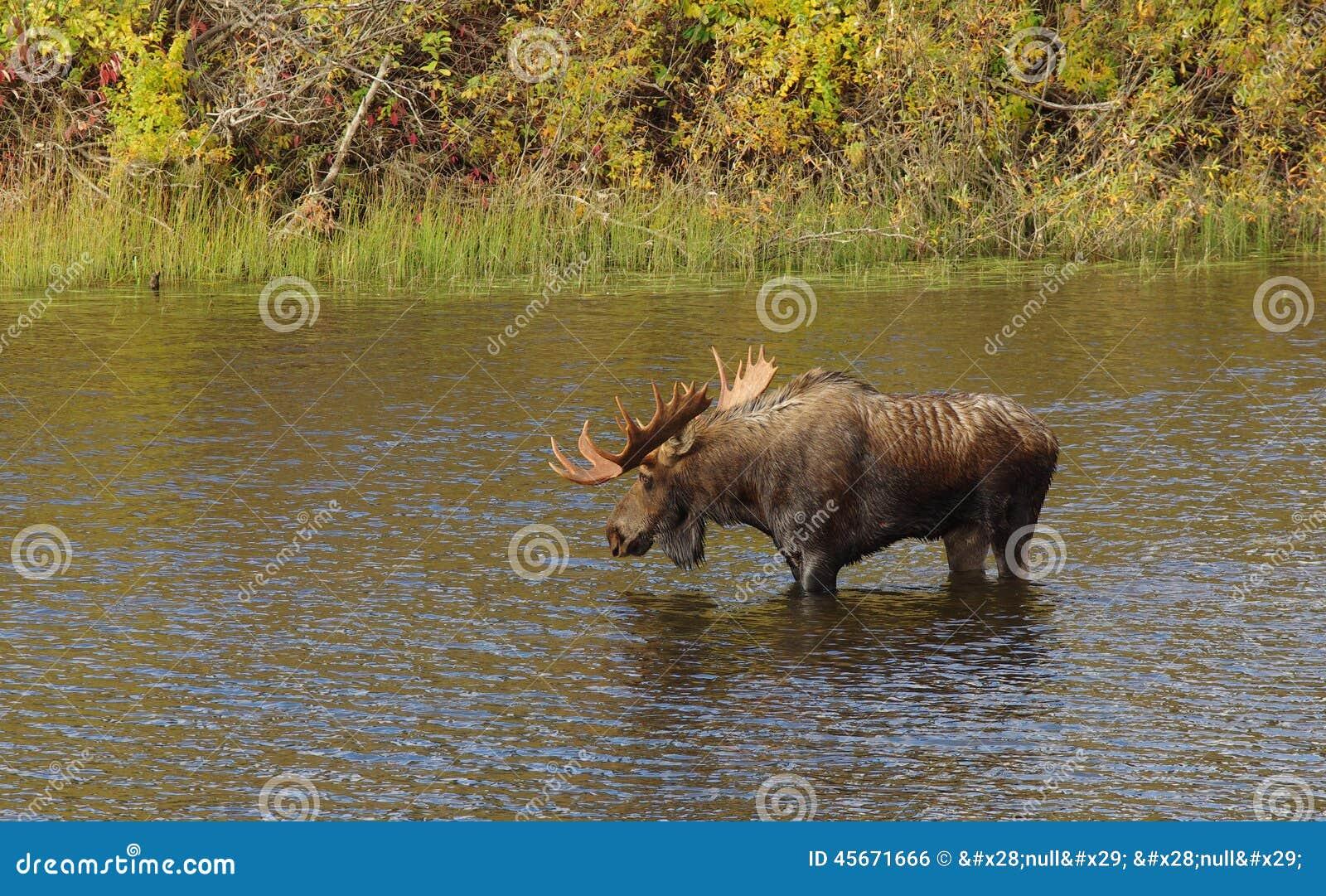 Άλκες του Bull