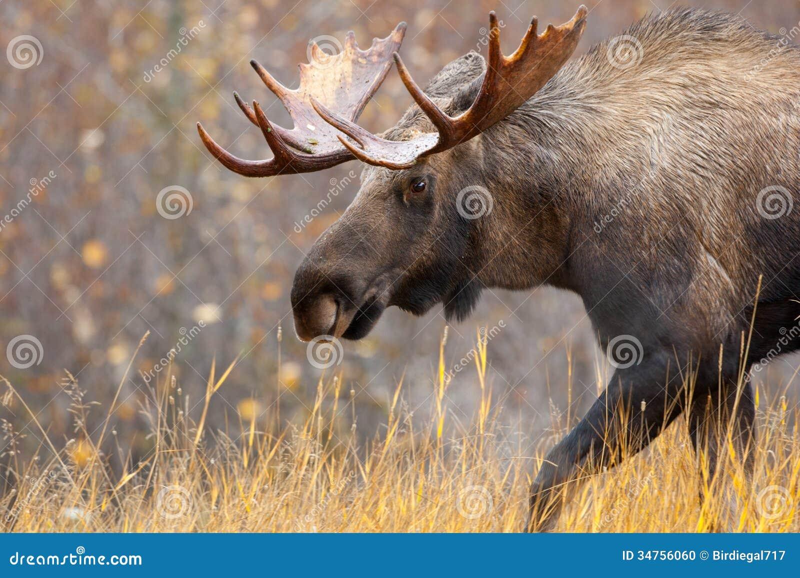Άλκες Bull, Αλάσκα, ΗΠΑ