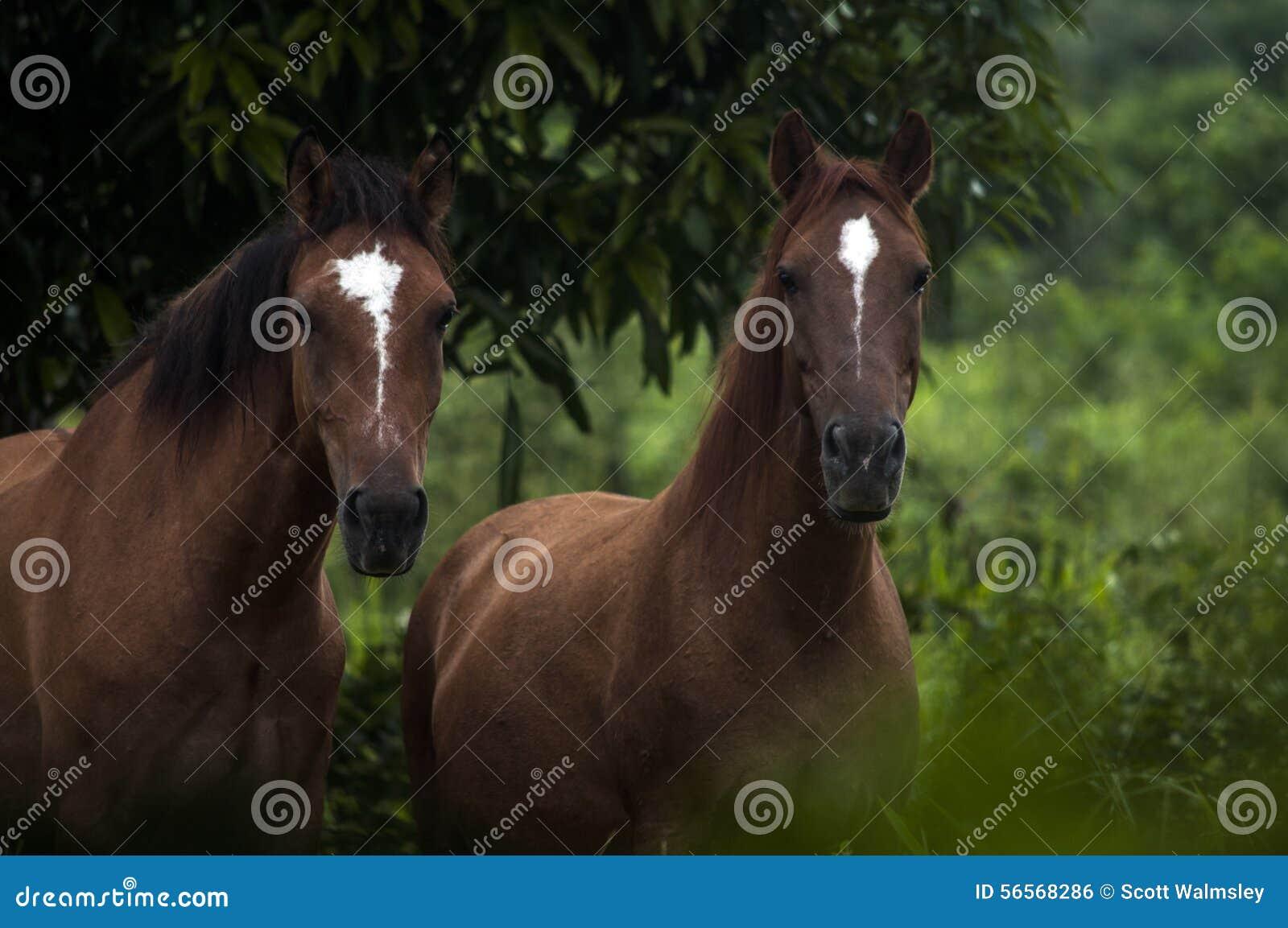 Download Άλογα στην άκρη ζουγκλών, Μπελίζ Στοκ Εικόνες - εικόνα από τροπικός, horseback: 56568286