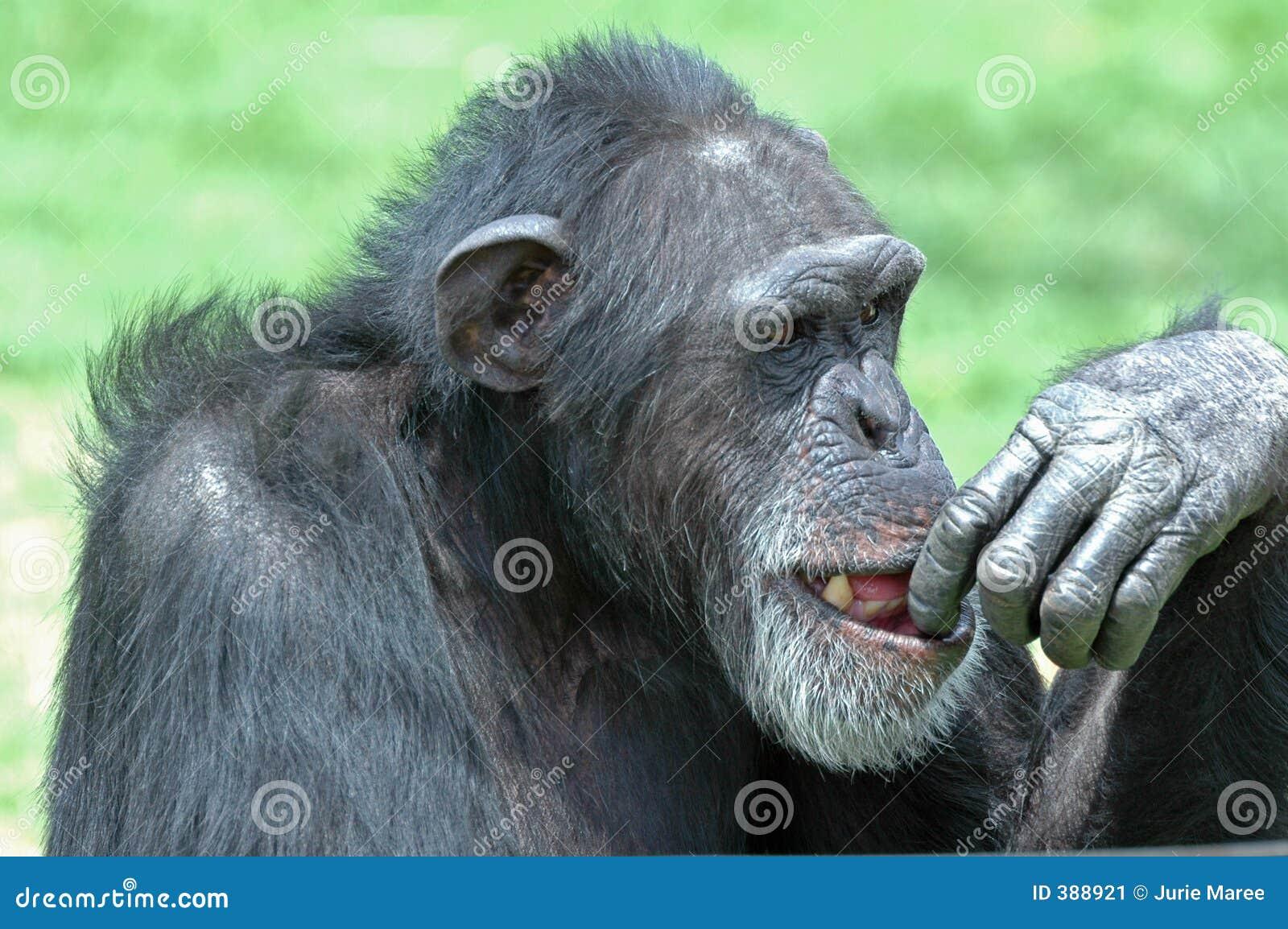 έκφραση χιμπατζήδων