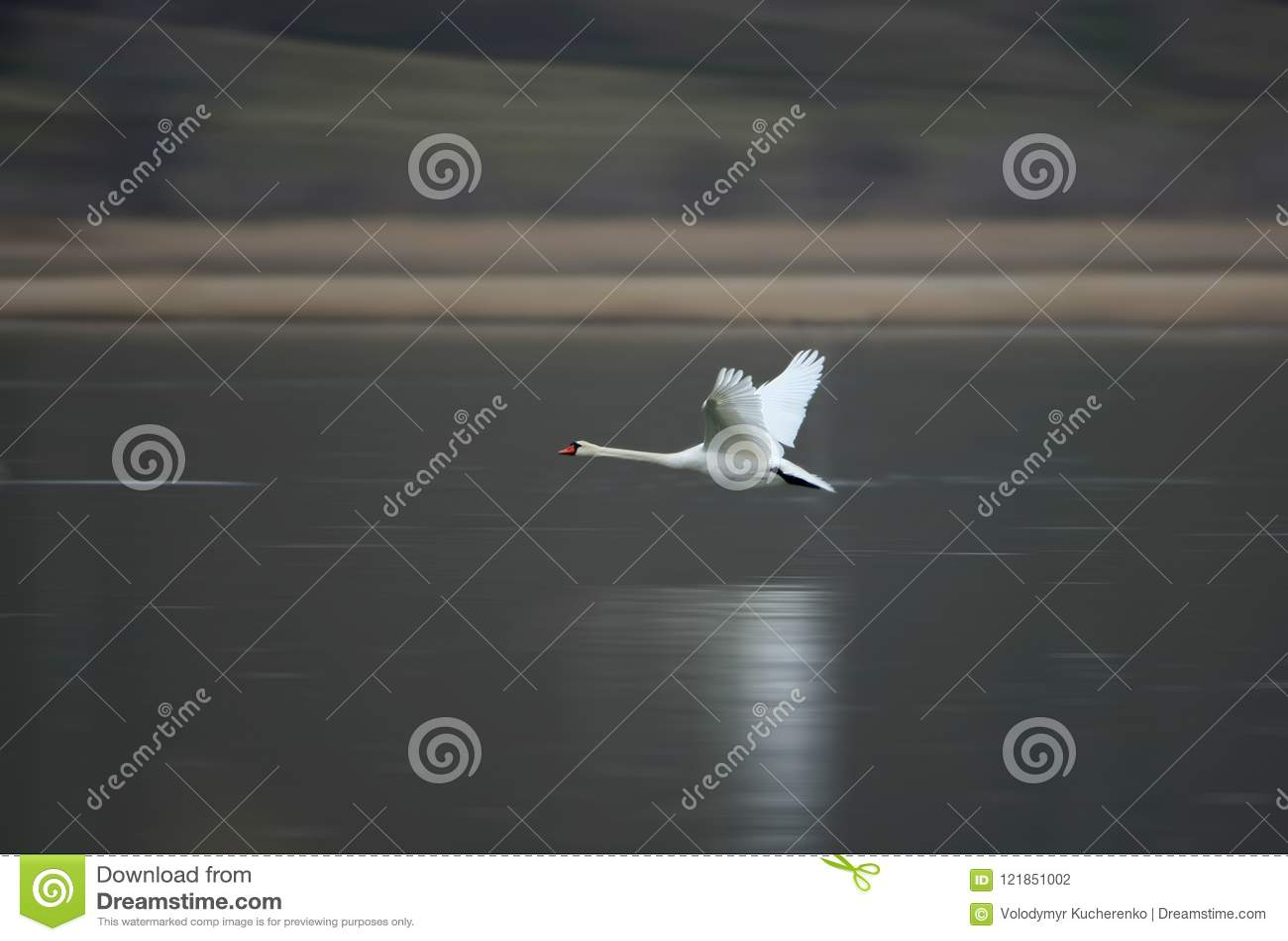 Ένας άσπρος κύκνος πετά γρήγορα πέρα από το παγωμένο νερό